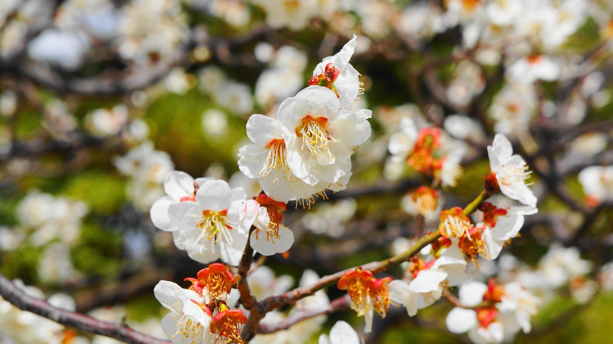 愛らしい花をたくさん咲かせる智積院の梅