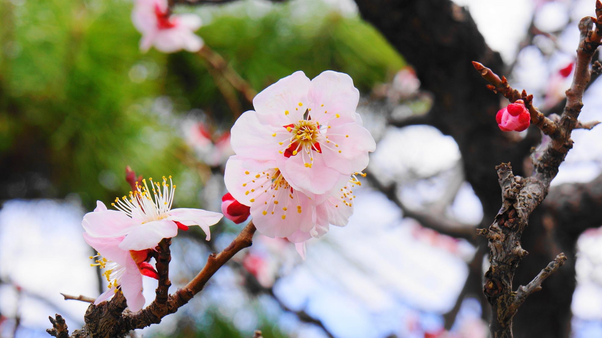 智積院の淡いピンク色の梅の花