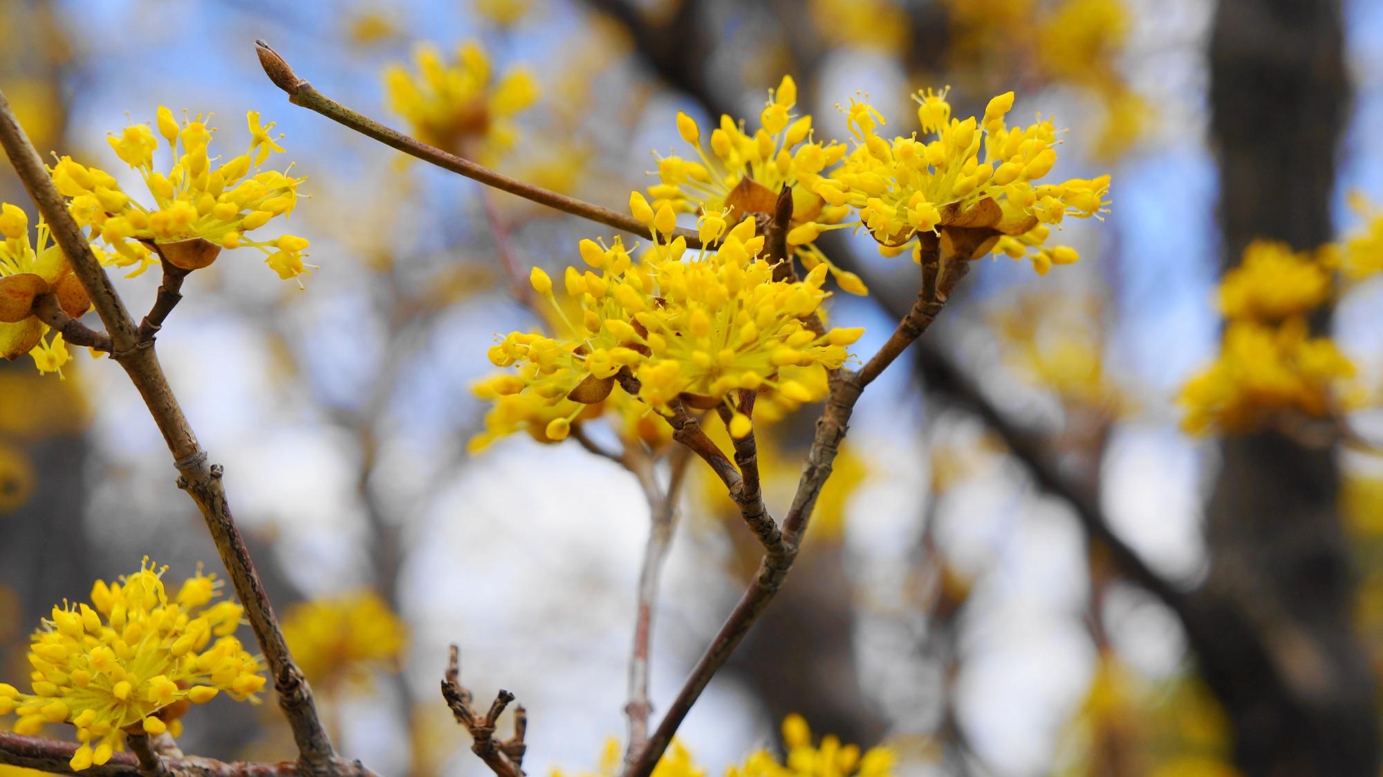 黄色い小さい花をいっぱい咲かせる智積院のサンシュユ