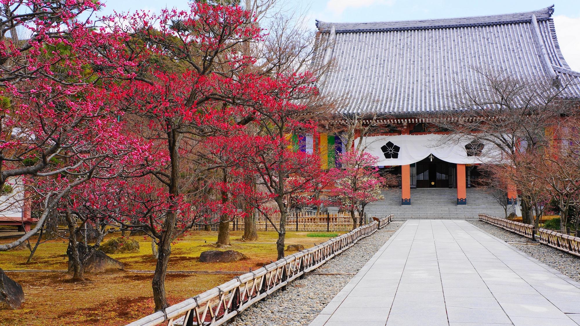 満開の鮮やかな梅にそまる金堂