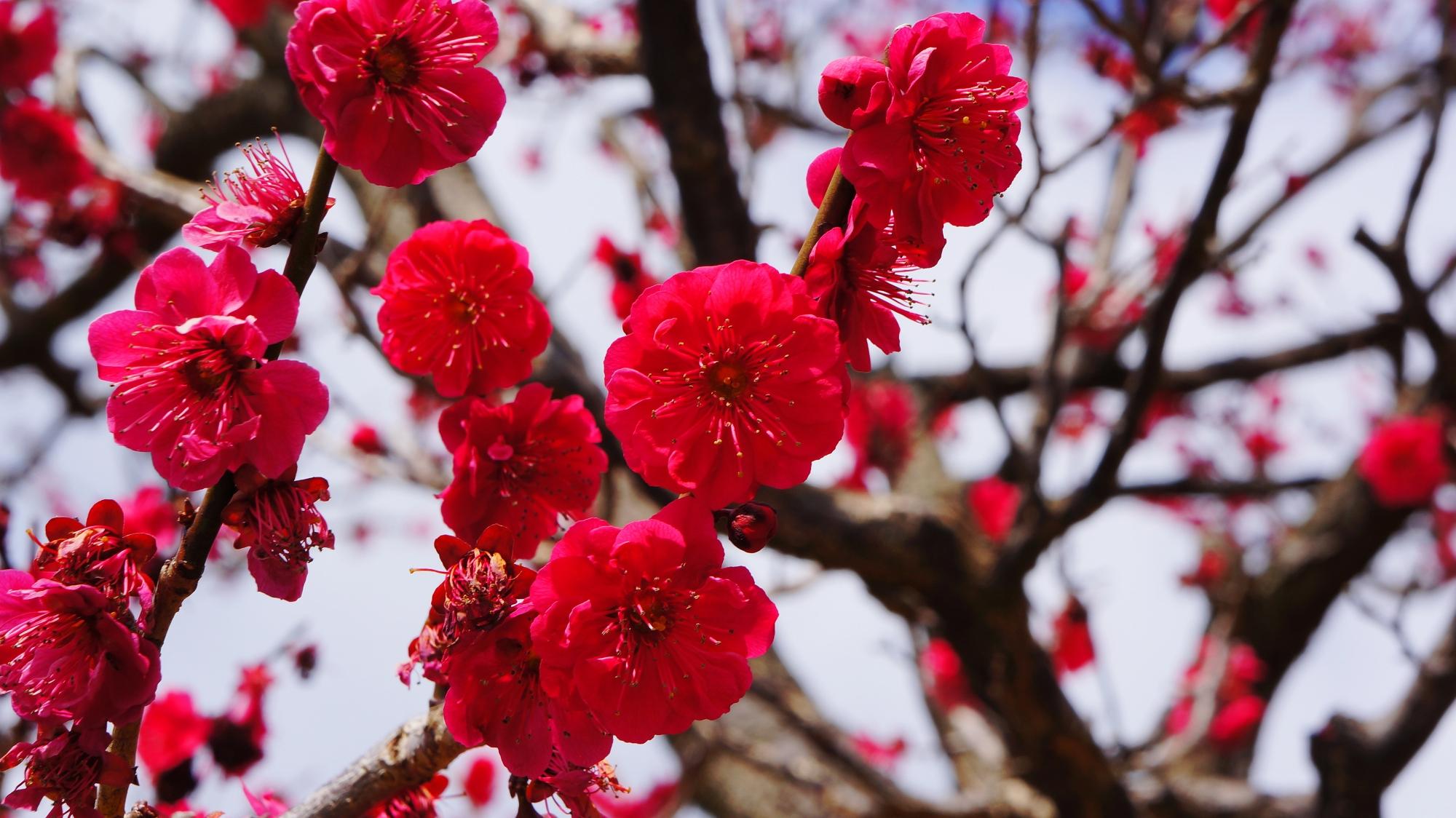 見ごろの赤に近い濃いビビッドなピンクの梅の花