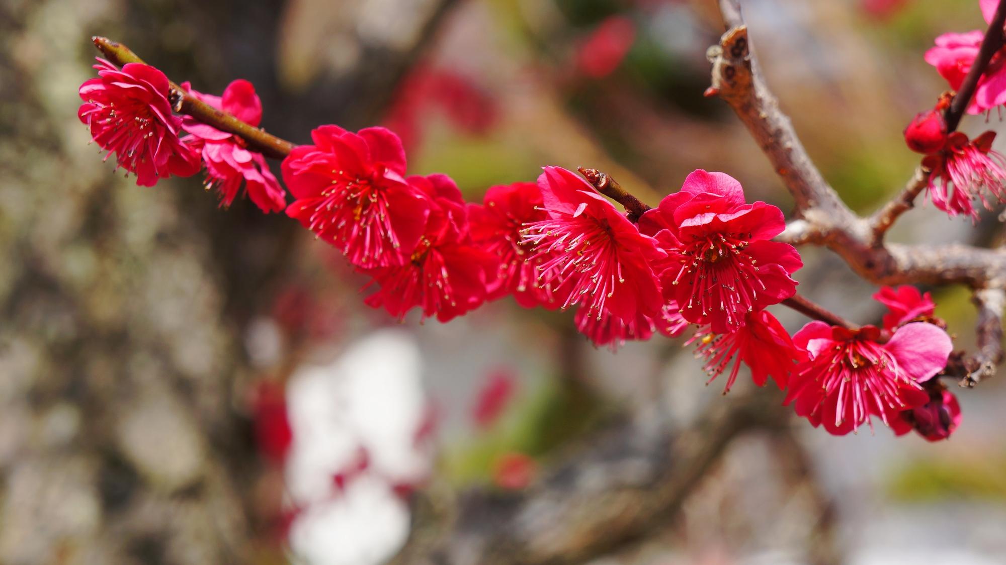 枝にいっぱい花を智咲かせる積院の梅