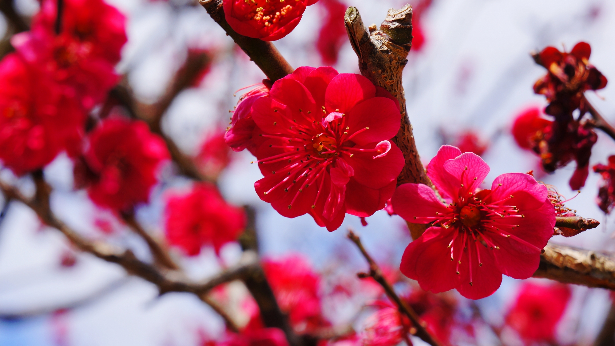 智積院の春先を彩る鮮烈な色合い