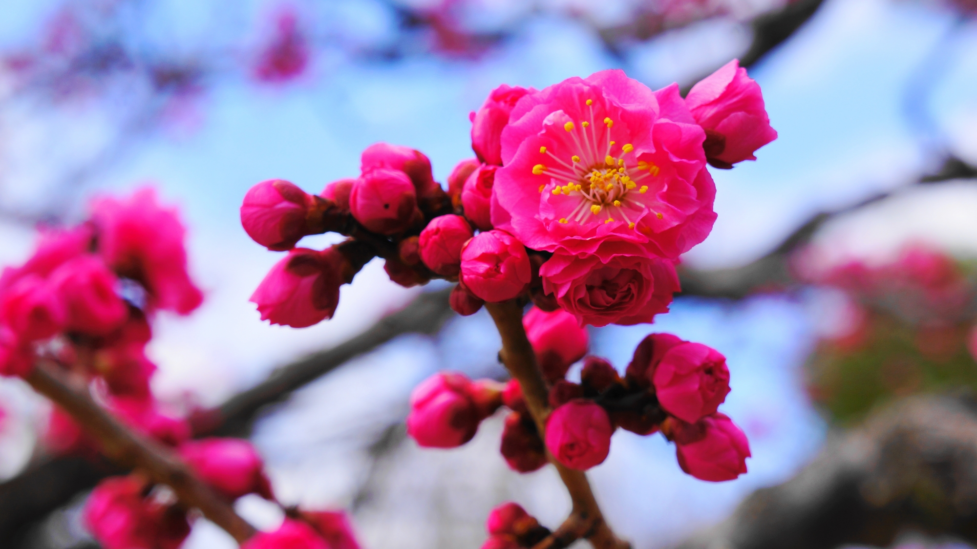 濃いピンクの梅の花