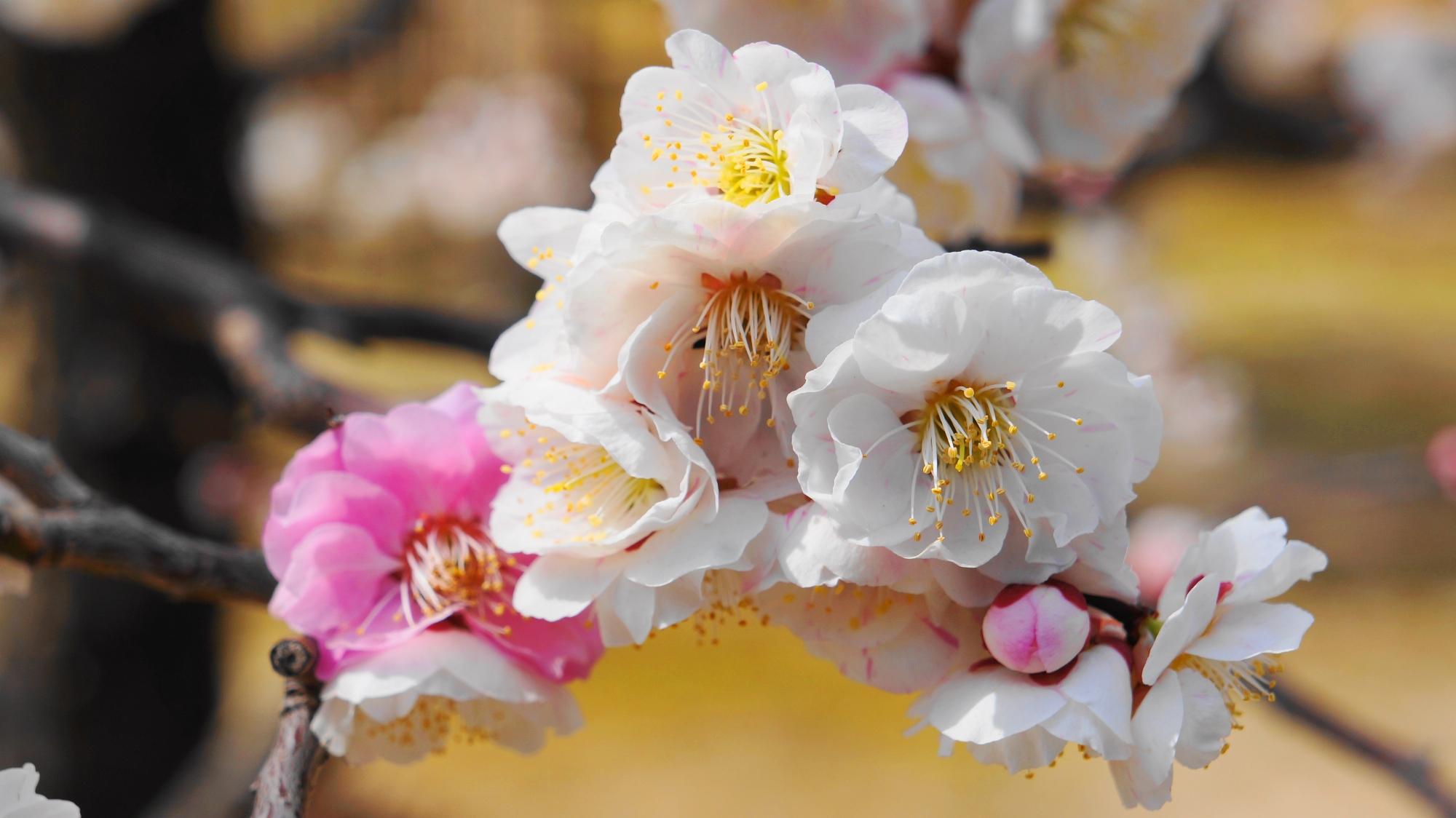 いろんな方向を向いてどんどん咲く白やピンクの梅の花