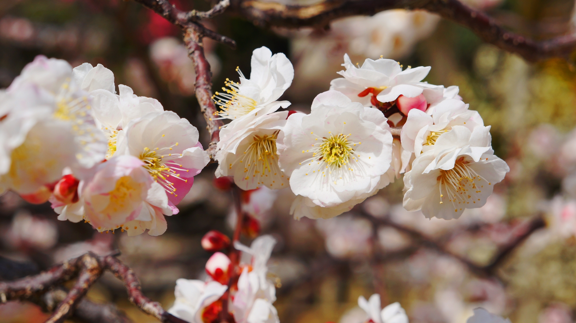 枝に所狭し咲く梅の花