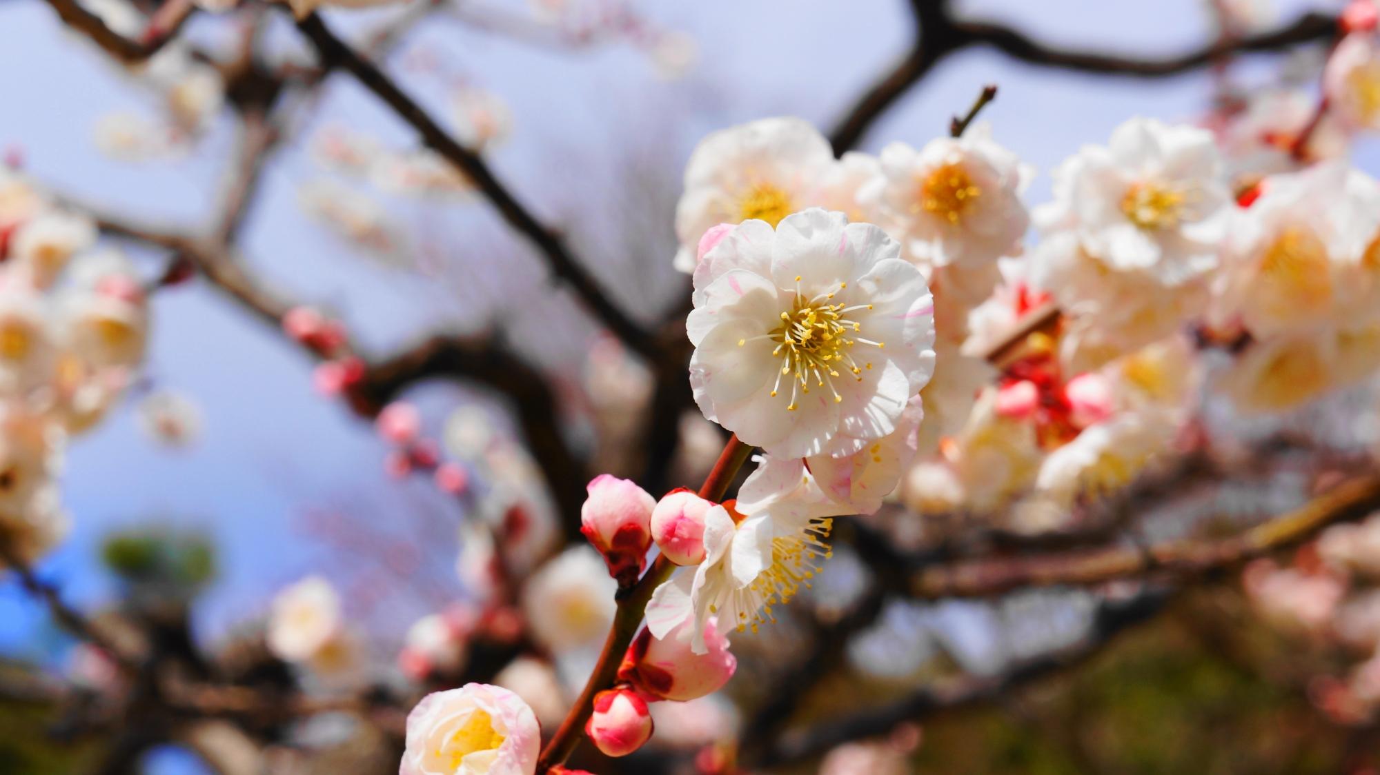 華やかに咲き誇る梅の花