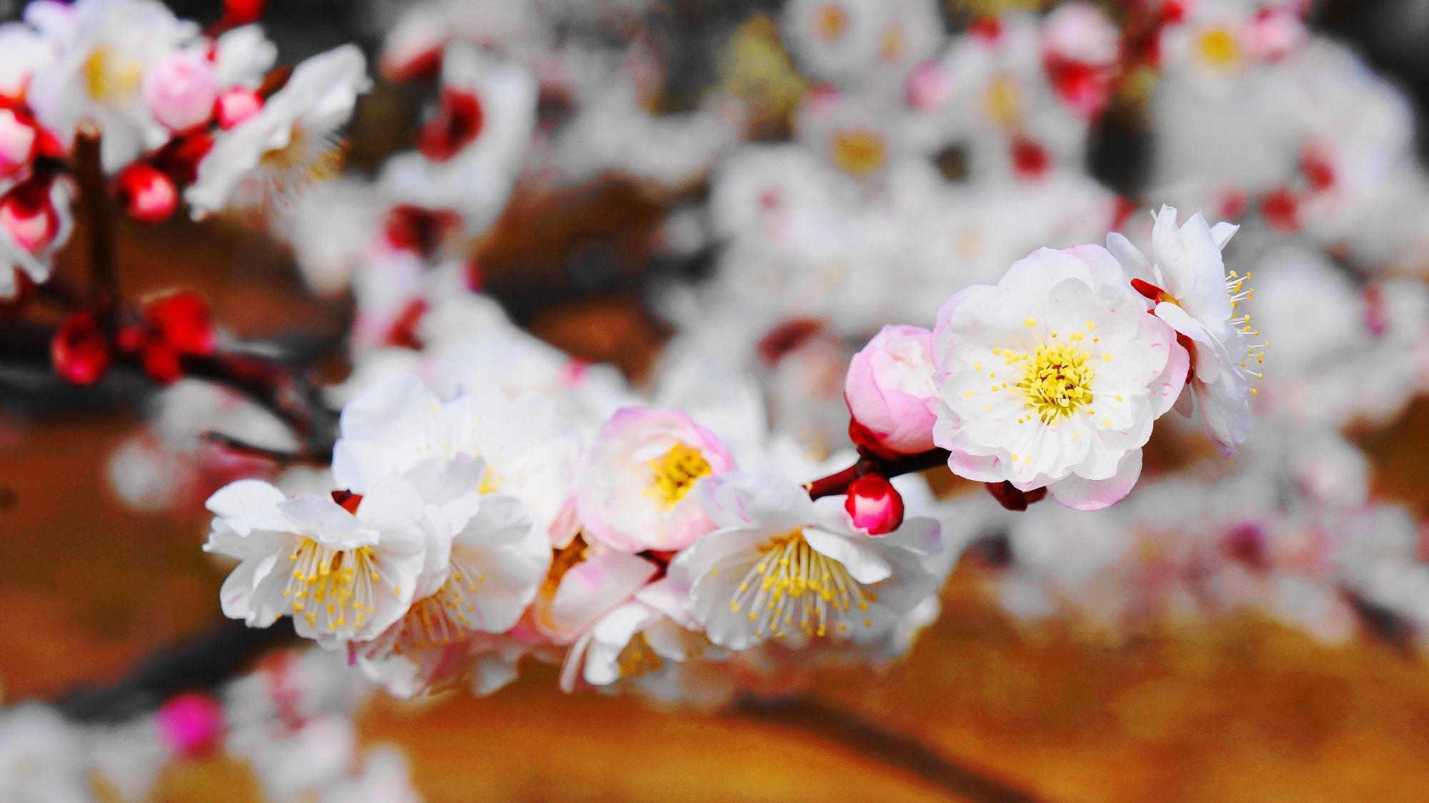 一つの枝に白やピンクの花が混ざって咲く梅