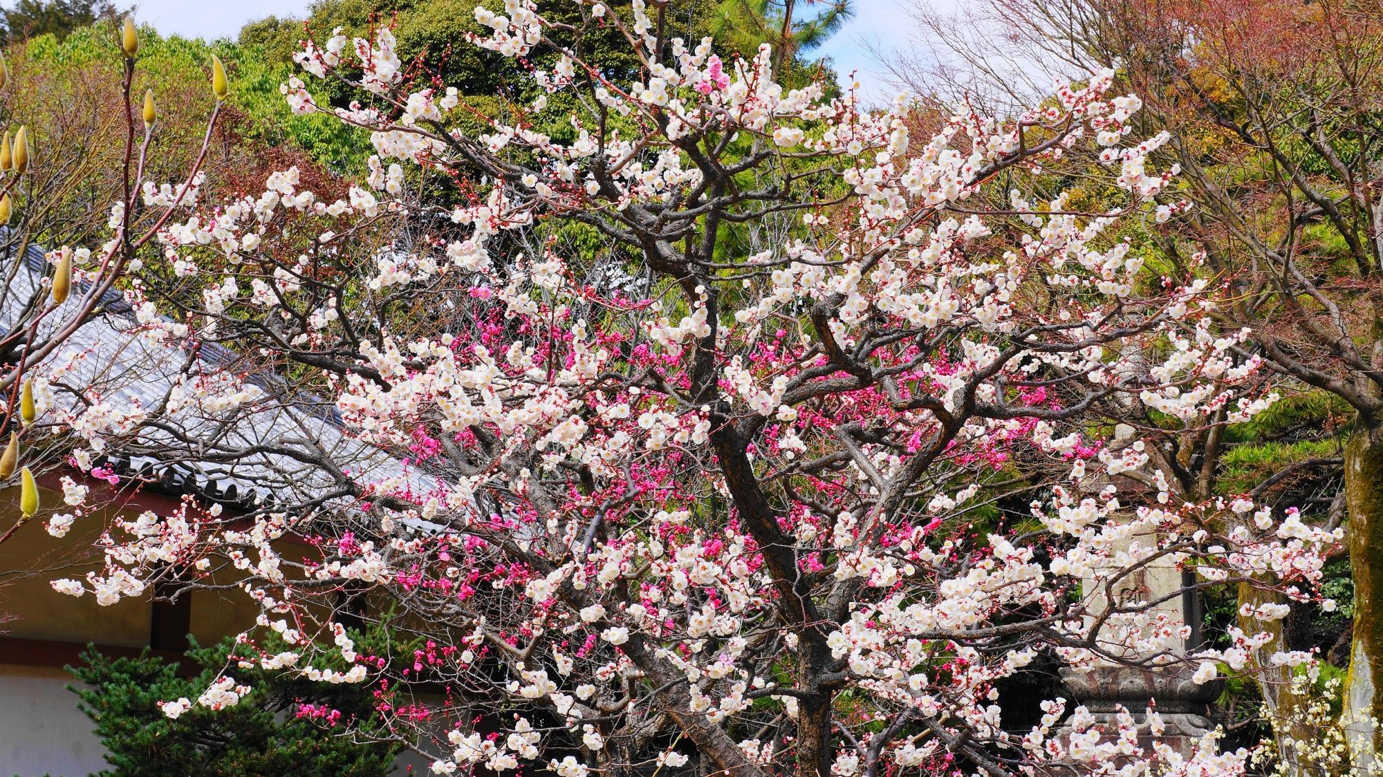 豪快に咲き誇る梅