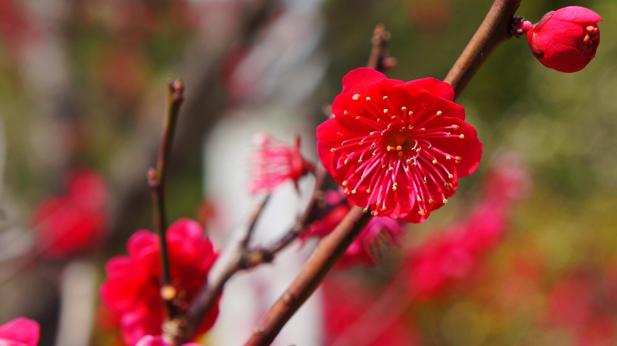 ビビッドな濃いピンクの梅の花が咲く金堂前