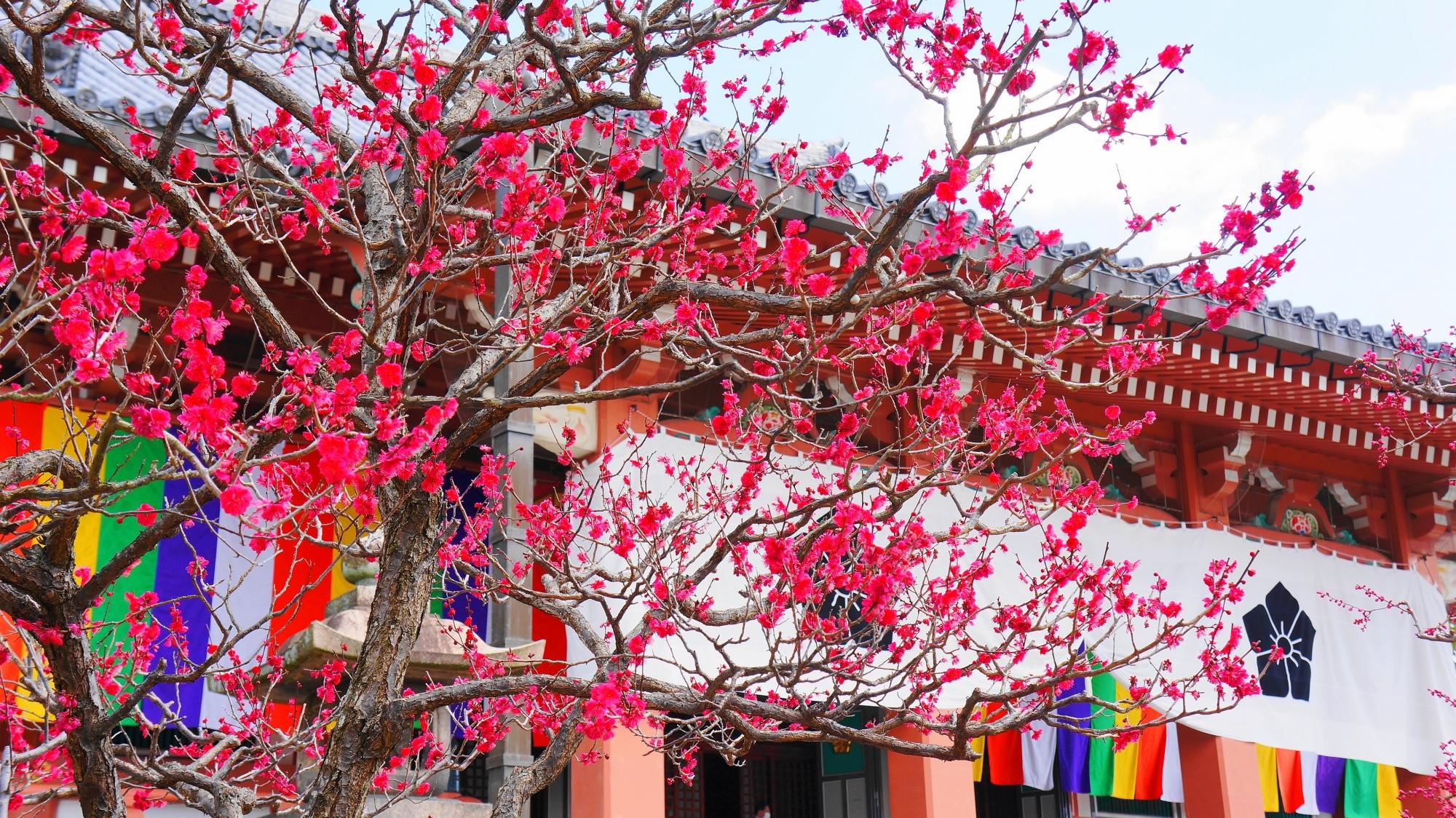 智積院の金堂前の梅の花