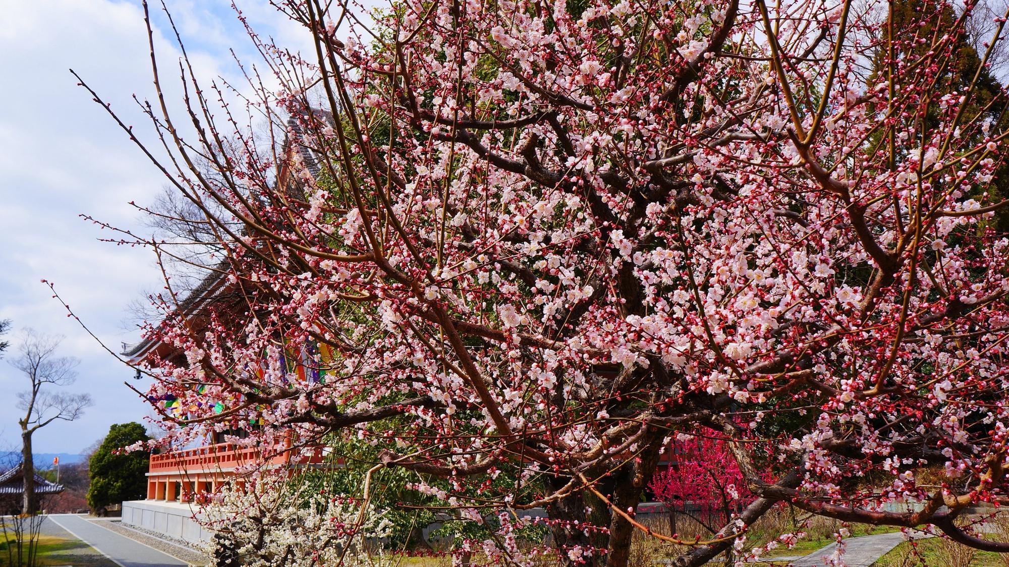豪快に咲き誇る智積院の金堂の裏(東側)の梅の花