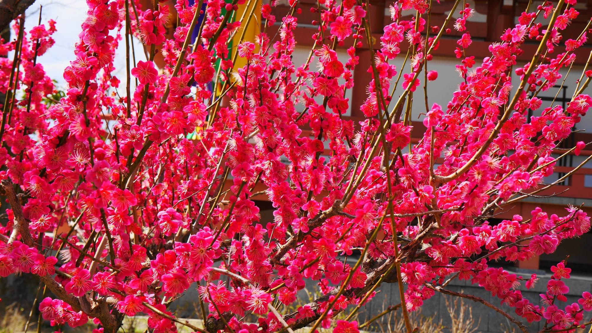 智積院の超満開の梅の花
