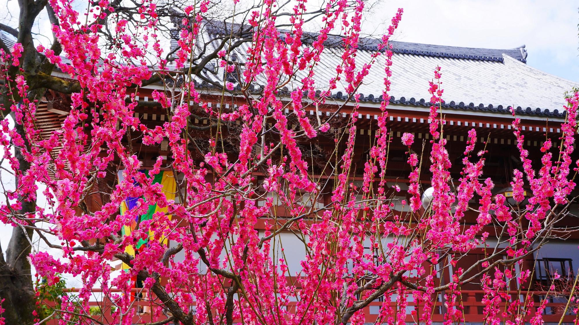 燃え上がるように濃いピンクの梅の花