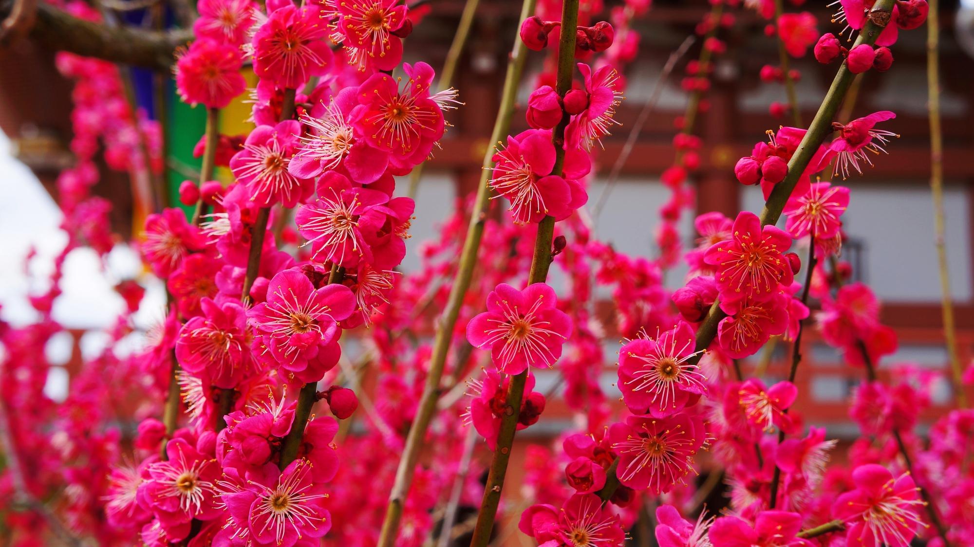 一人占めの満開の咲き乱れる梅の花