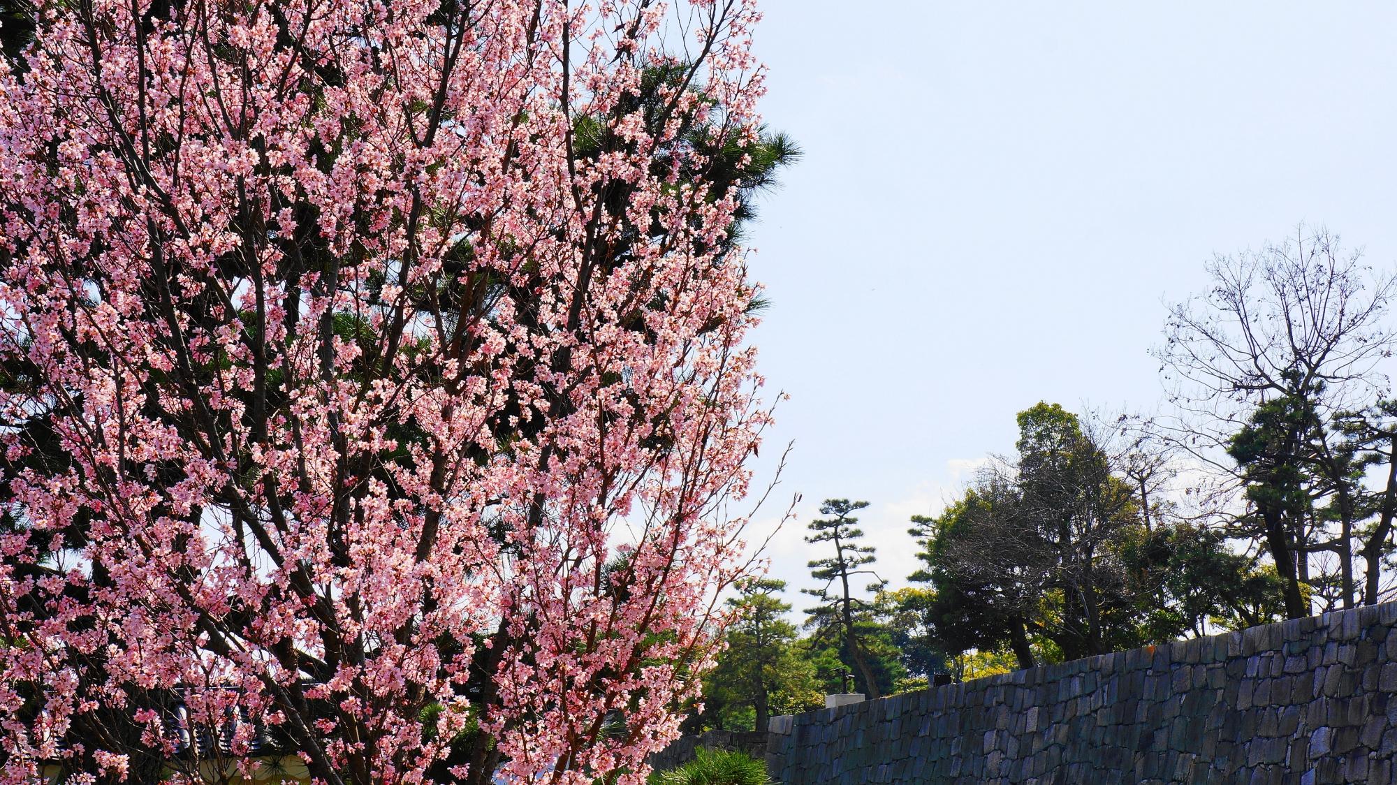 お堀と石垣を華やかに彩る満開の早咲きの桜
