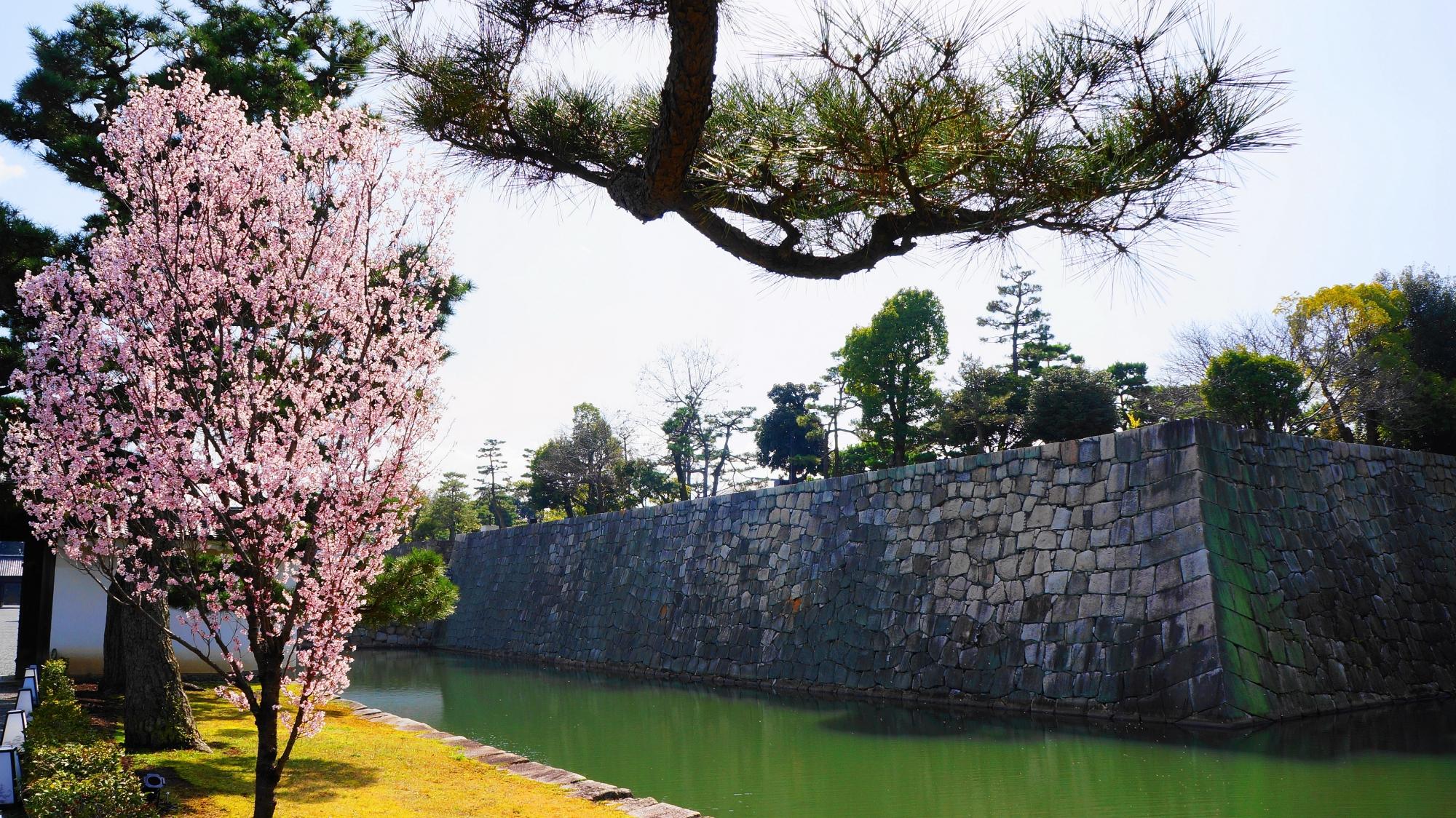 早咲きの啓翁桜