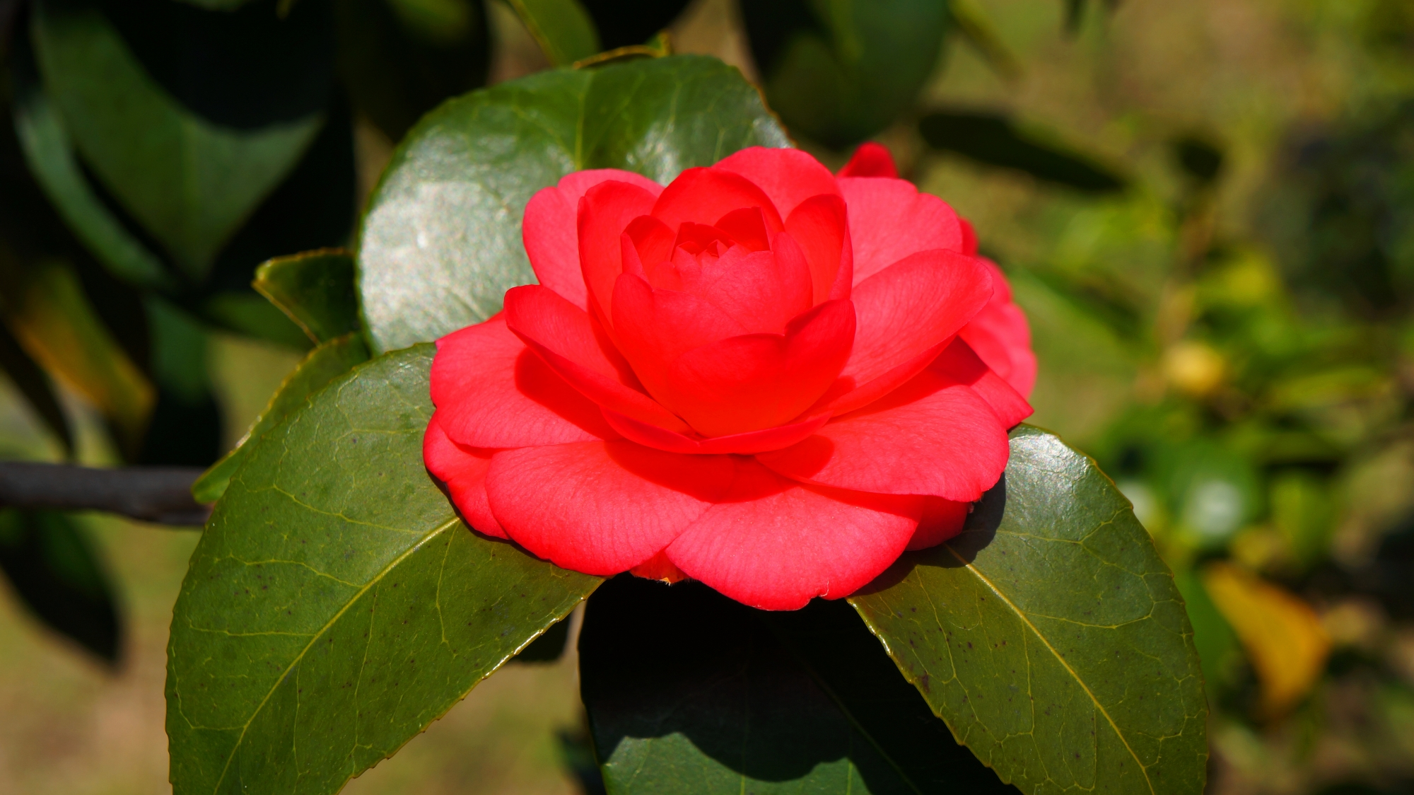 多種多様な椿の花が見ごろをむかえる二条城