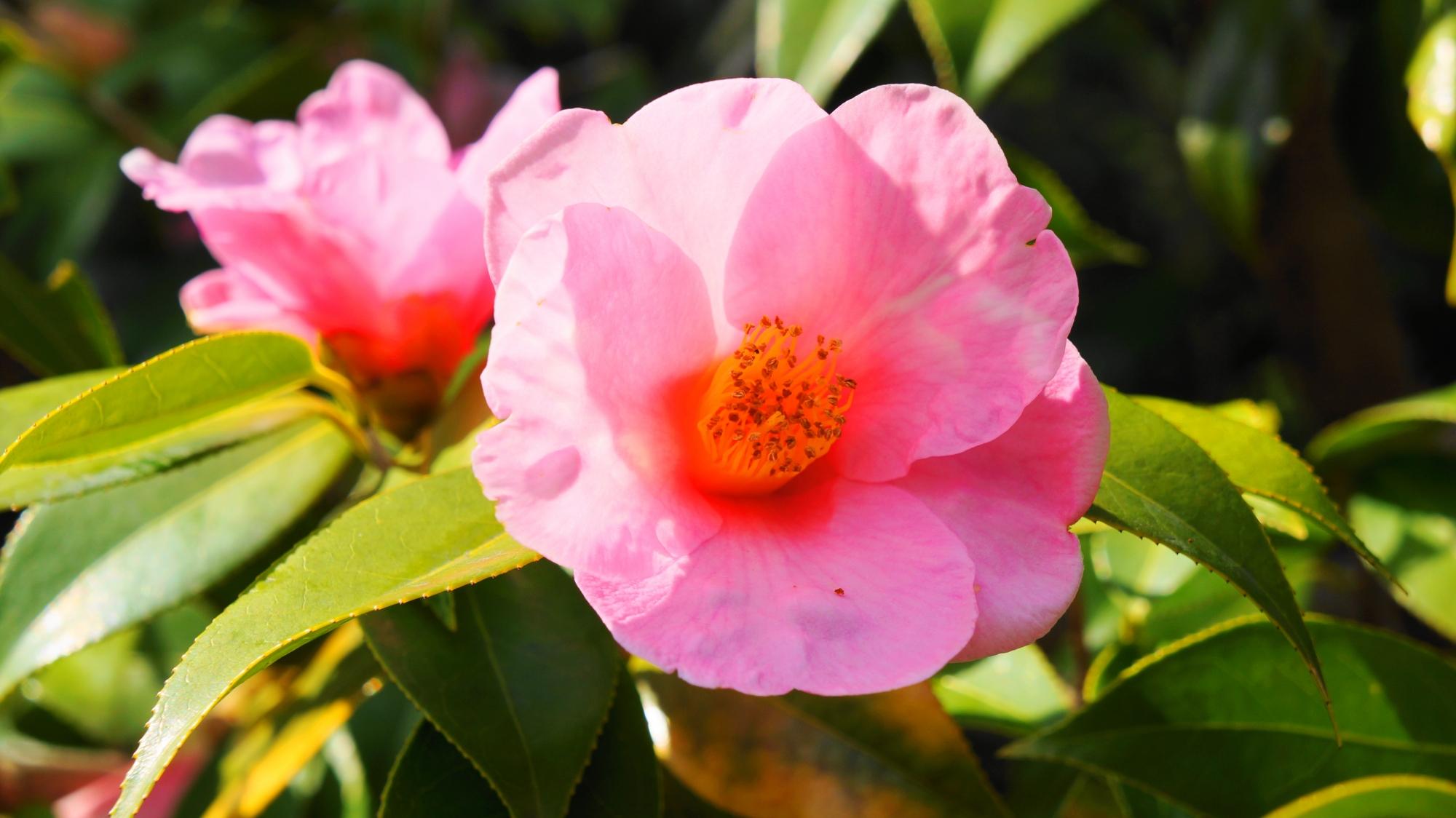 ピンクの華やかな椿