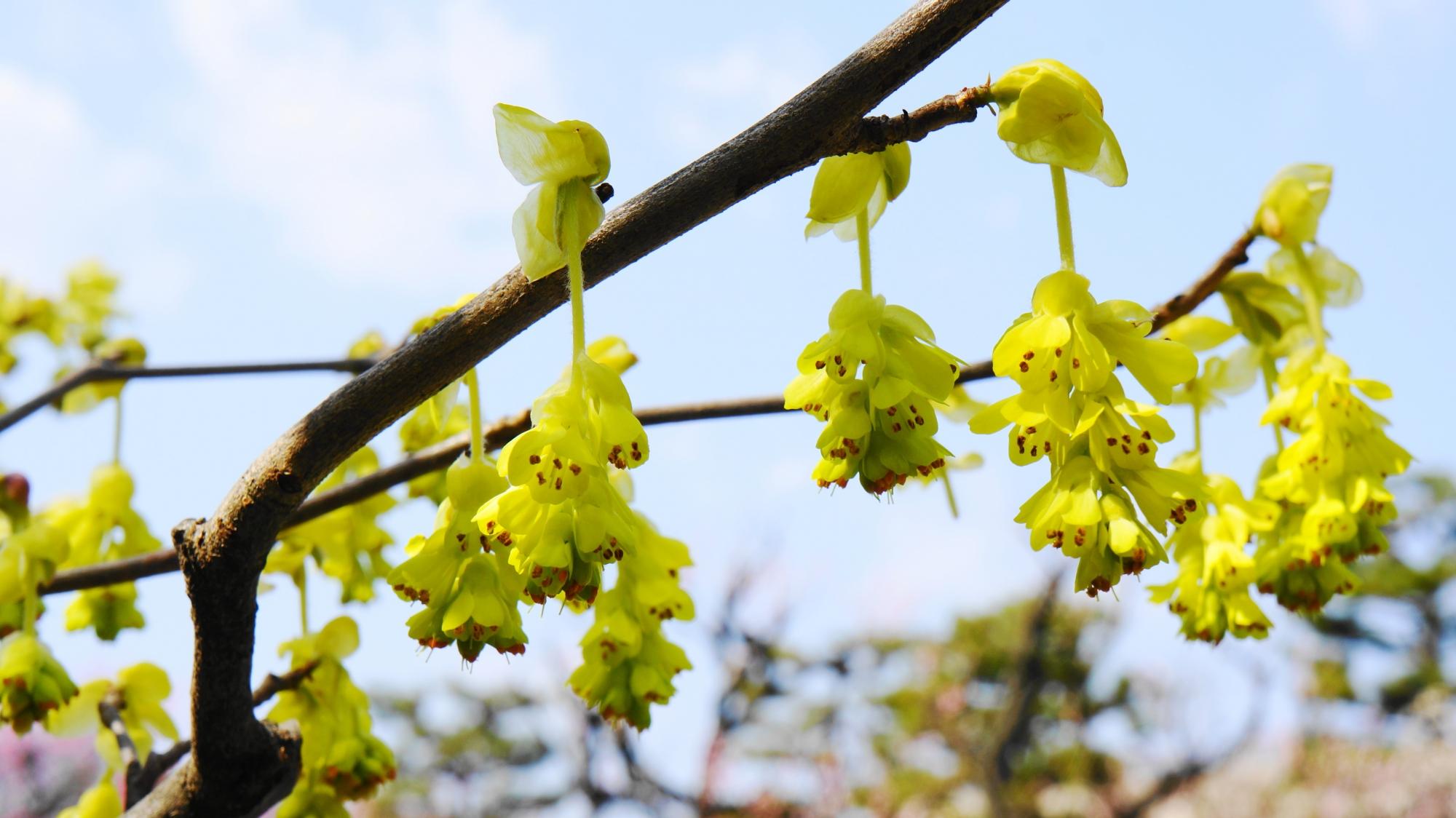 枝からぶら下がるように咲く可愛い花