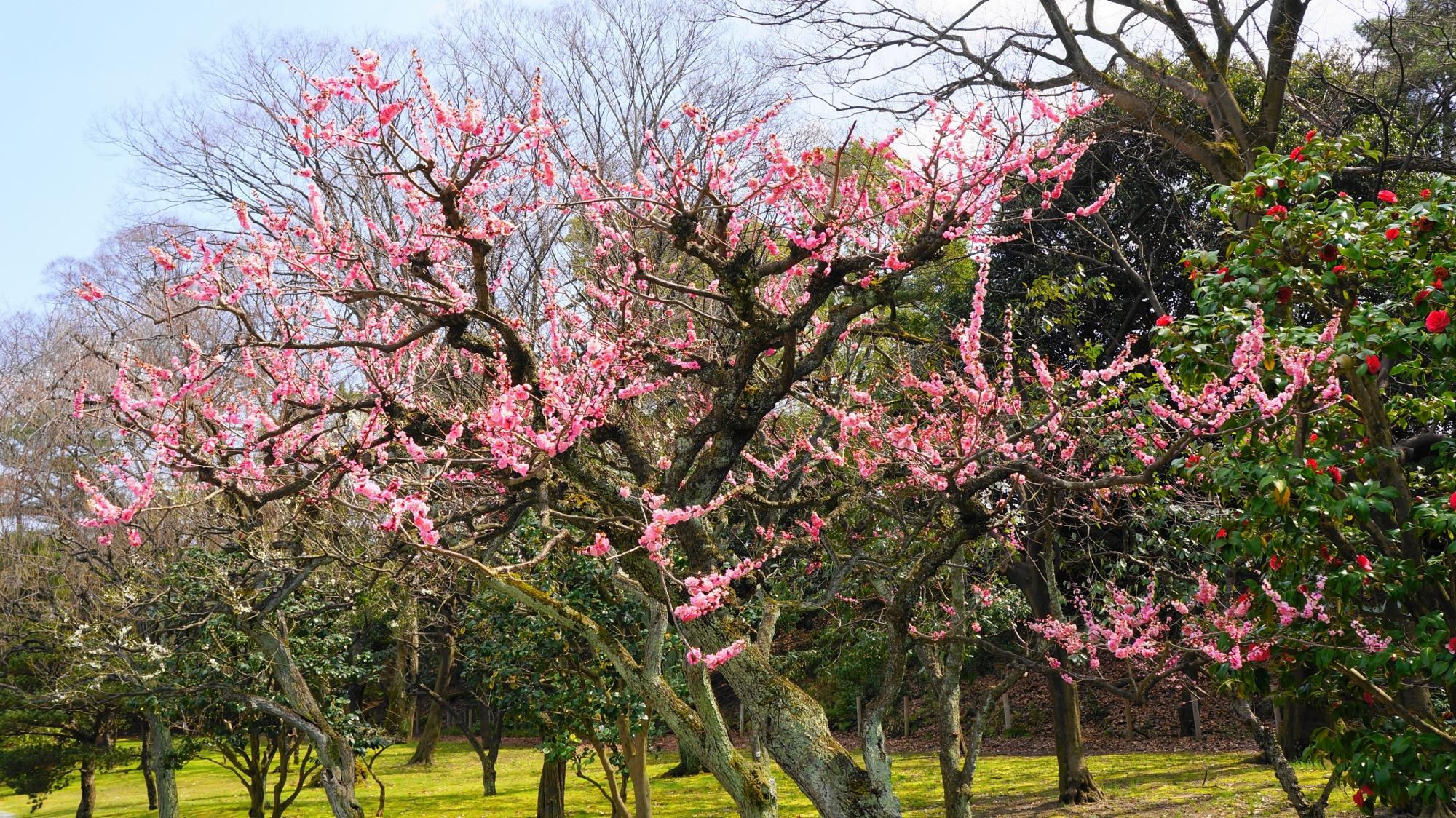 華やかなピンクの梅の花