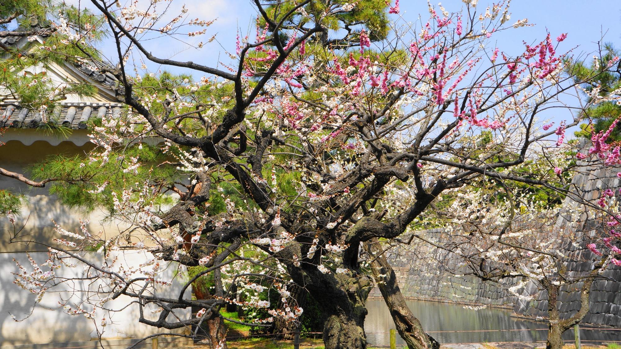 一本の木に紅白の花が咲く「源平咲き分け」の梅