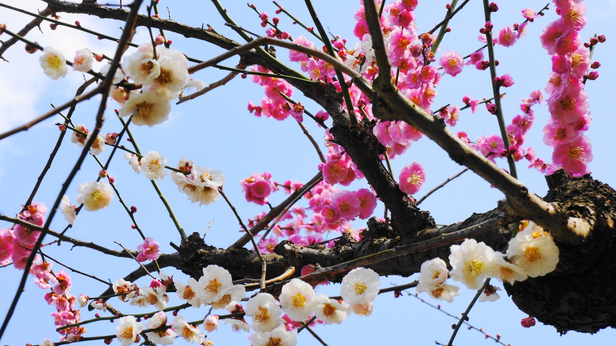 枝ごとに紅白に分かれる梅の木