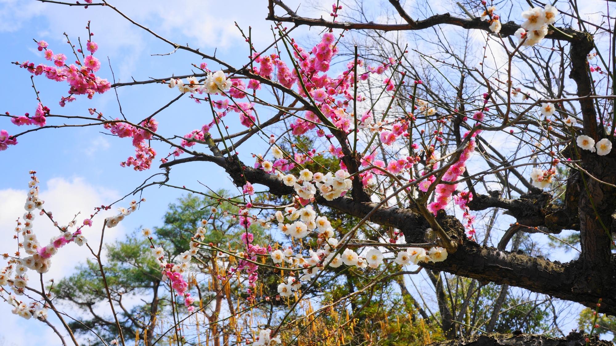 いろんな方向を向く枝から咲き誇る紅白の梅