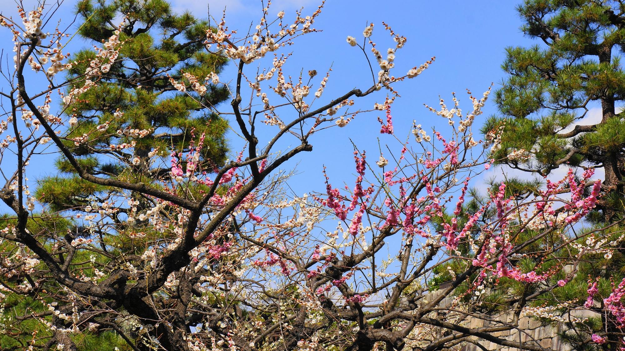 青空を彩る紅白の梅の花