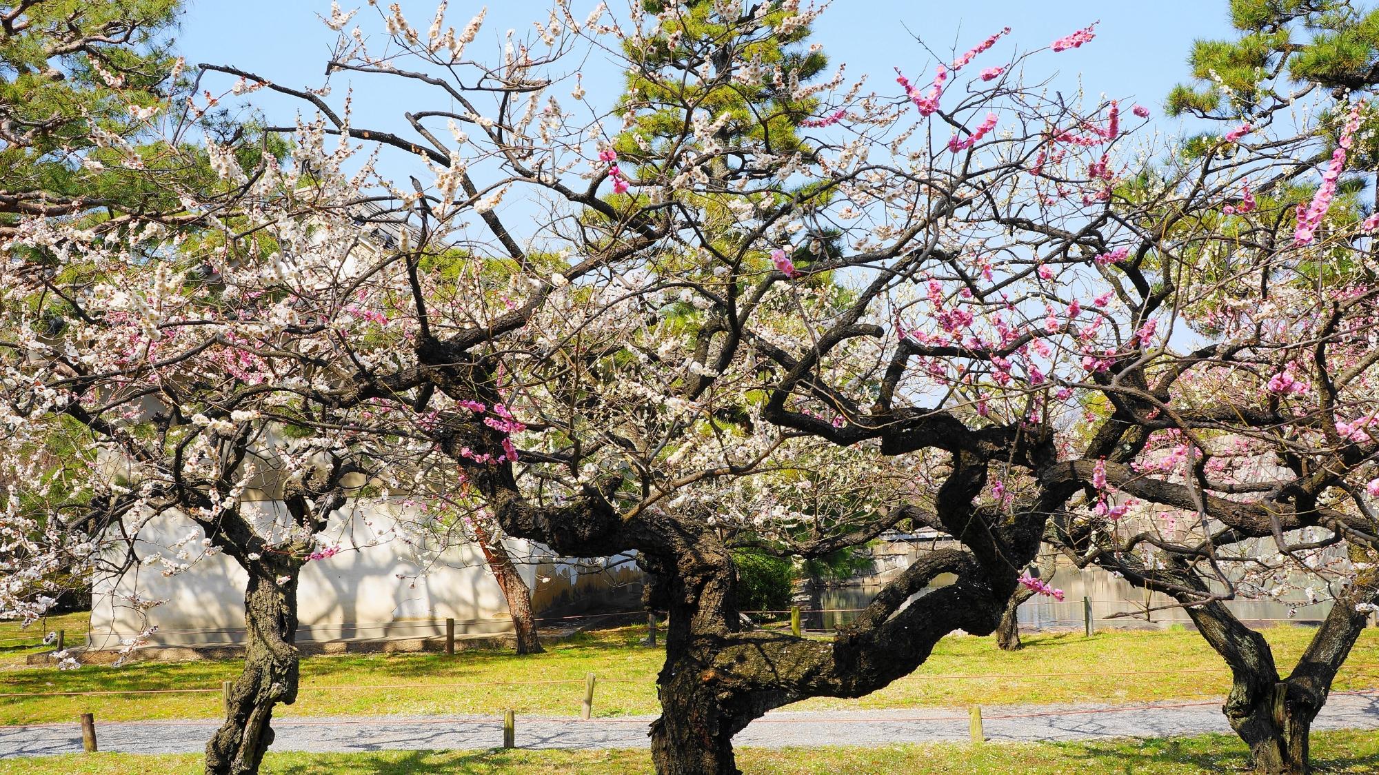 芸術的な幹と枝と紅白の梅の花