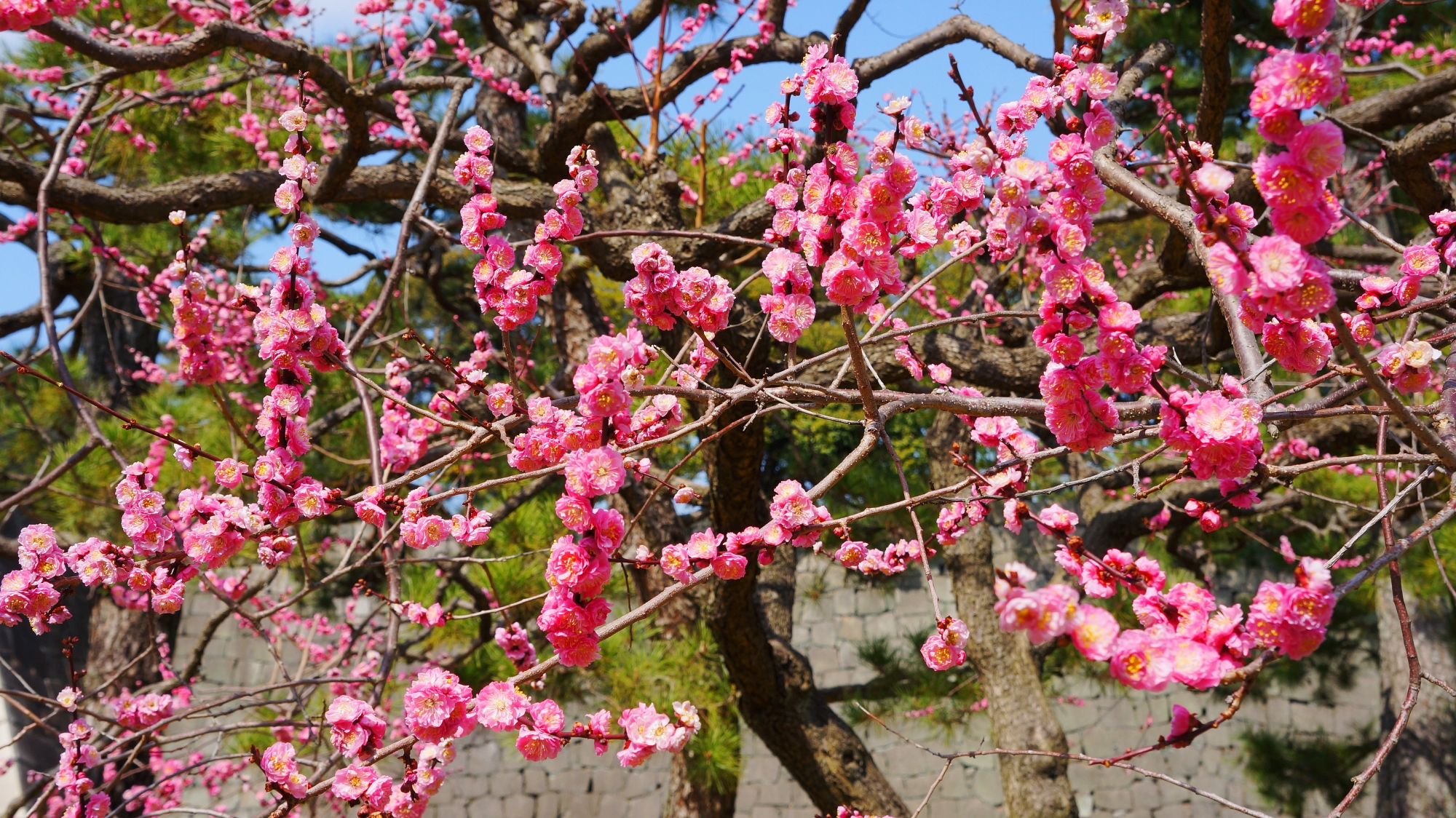 咲き誇るコロンとした八重の梅の花