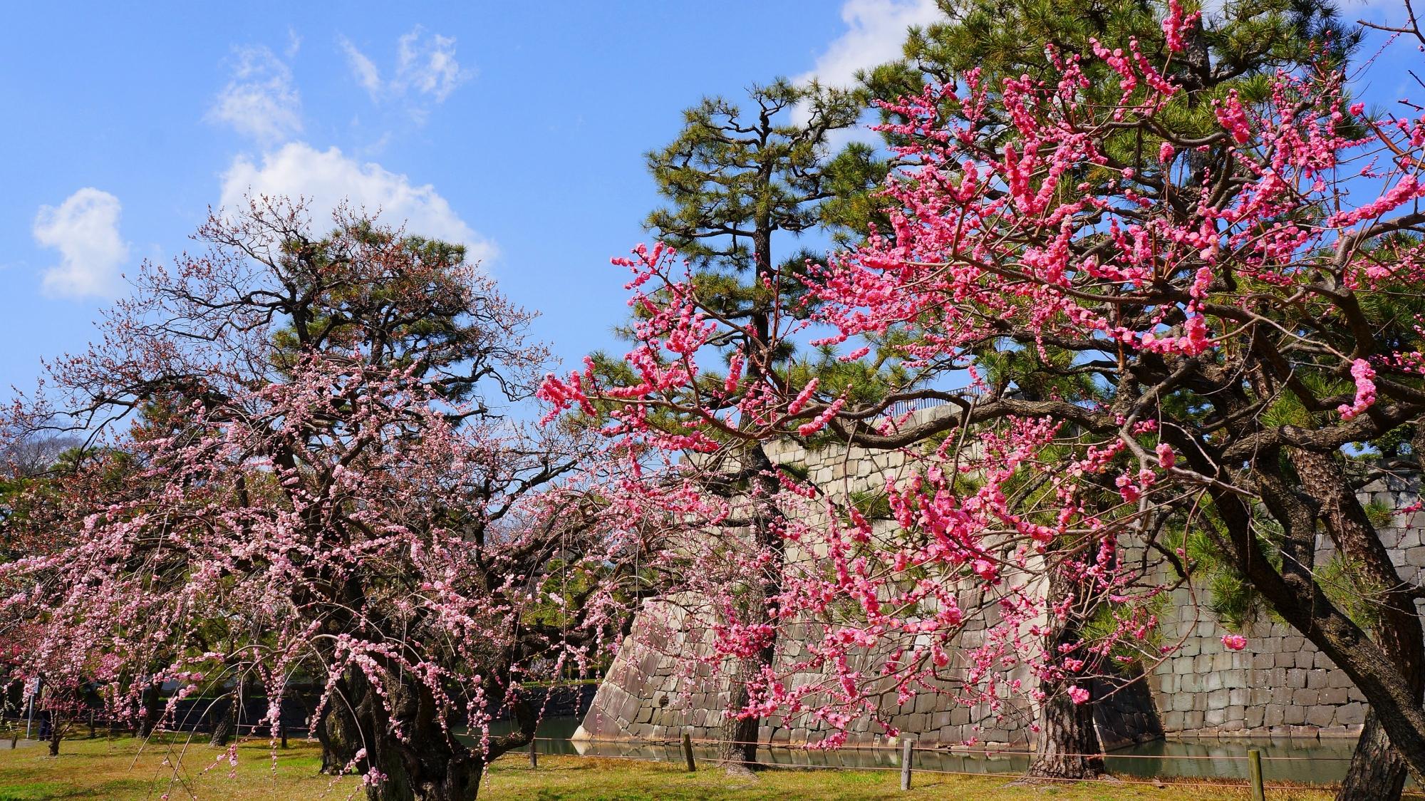 鮮やかな濃いピンクの梅と華やかな薄いピンクのしだれ梅