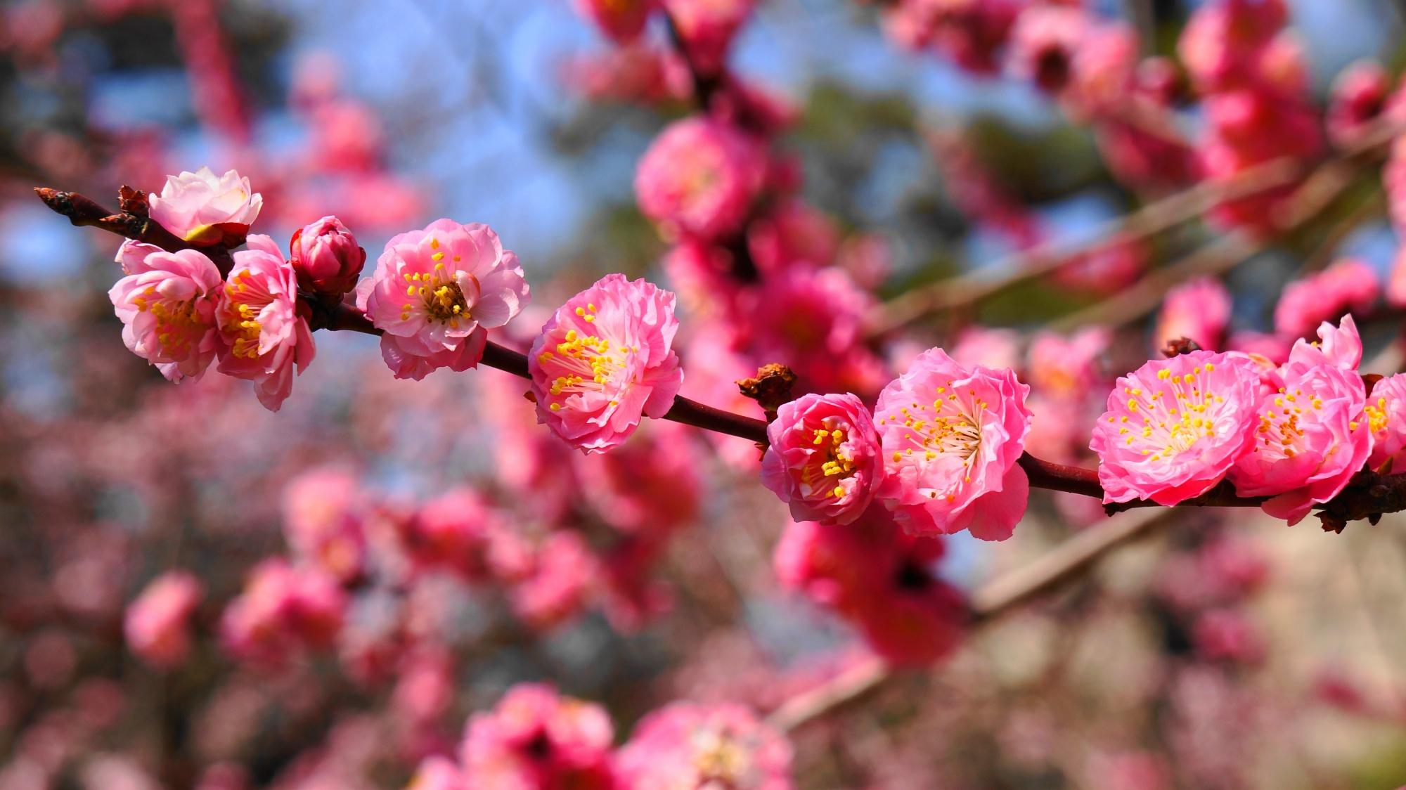 枝に綺麗に整列した可愛い梅の花