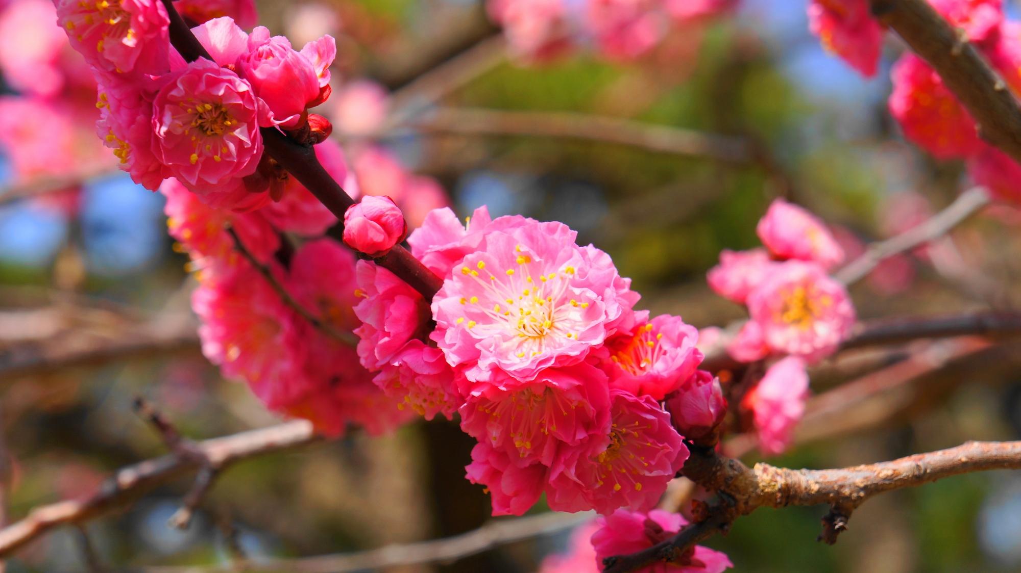 枝に密集して所狭しと咲く梅の花
