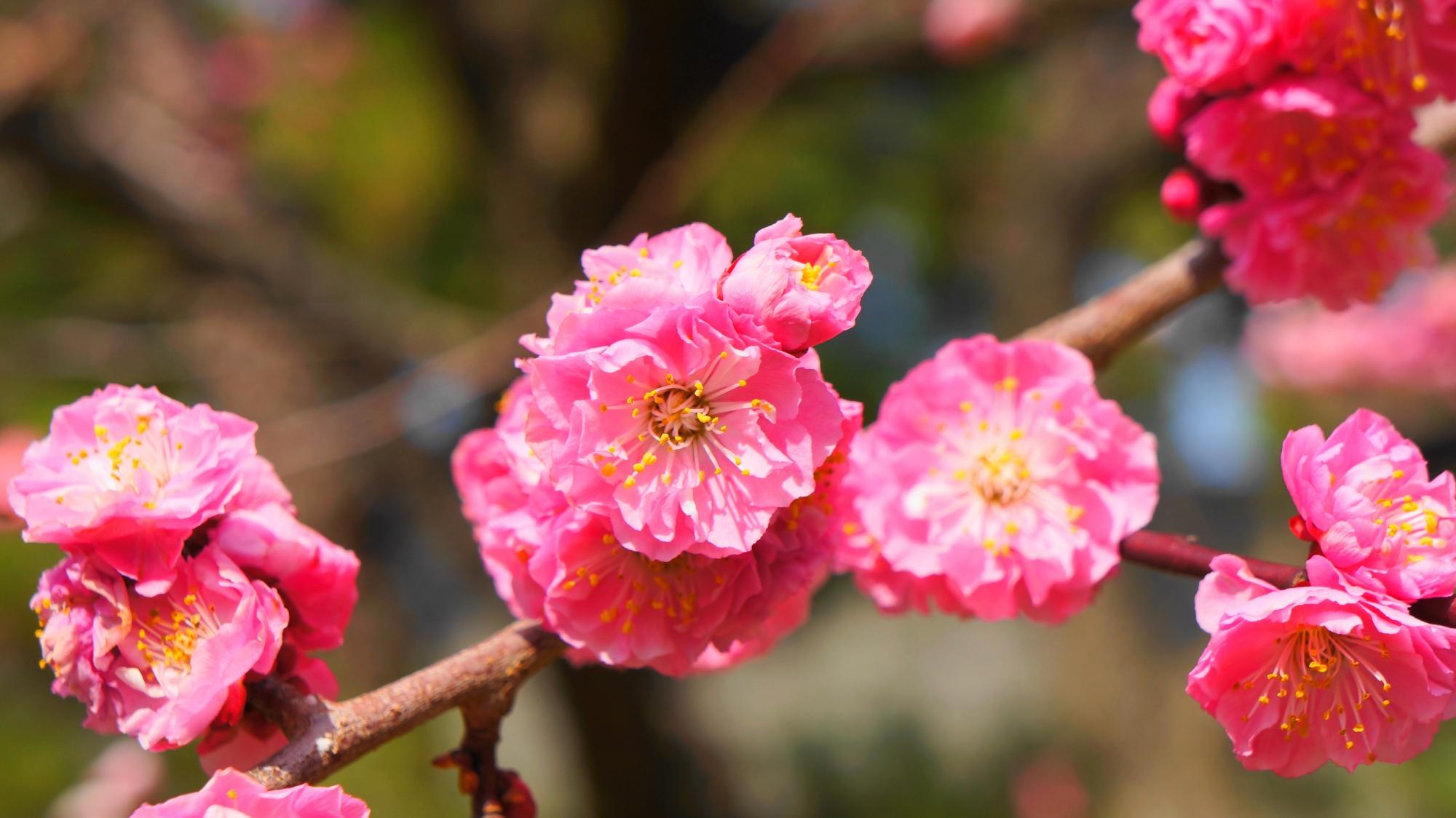 一輪一輪は繊細な造りの梅の花