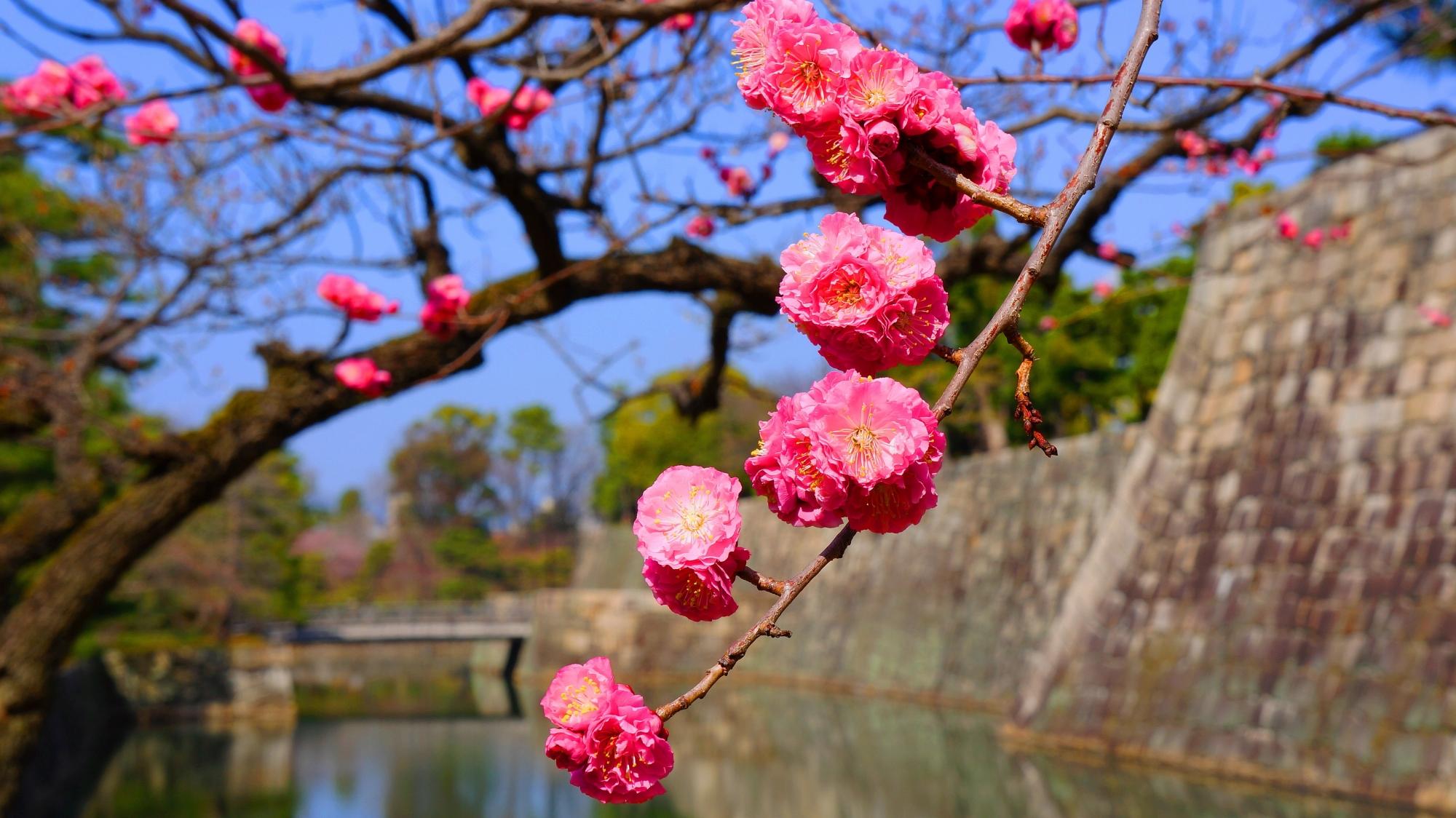 二条城の絵になる梅の花