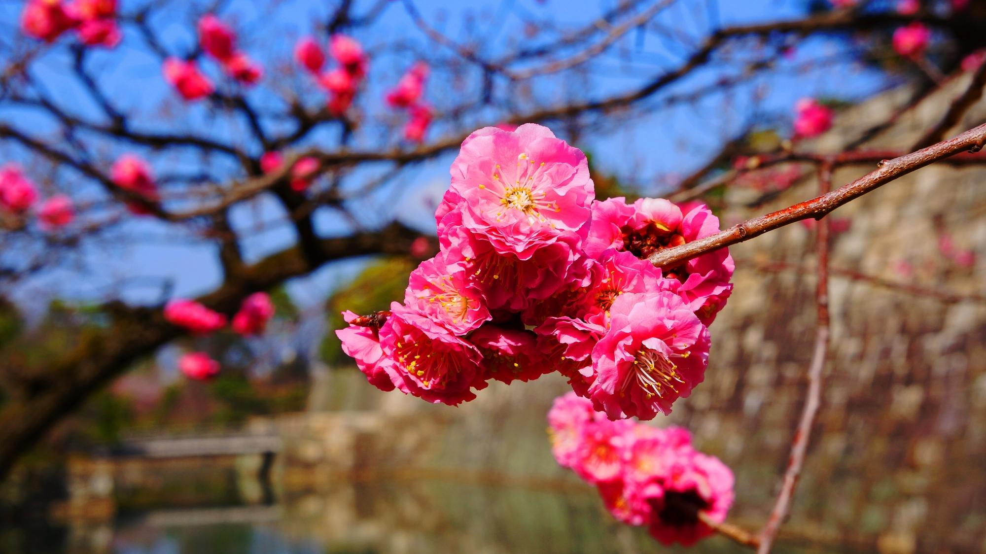 青空や石垣に映えるピンクの梅の花