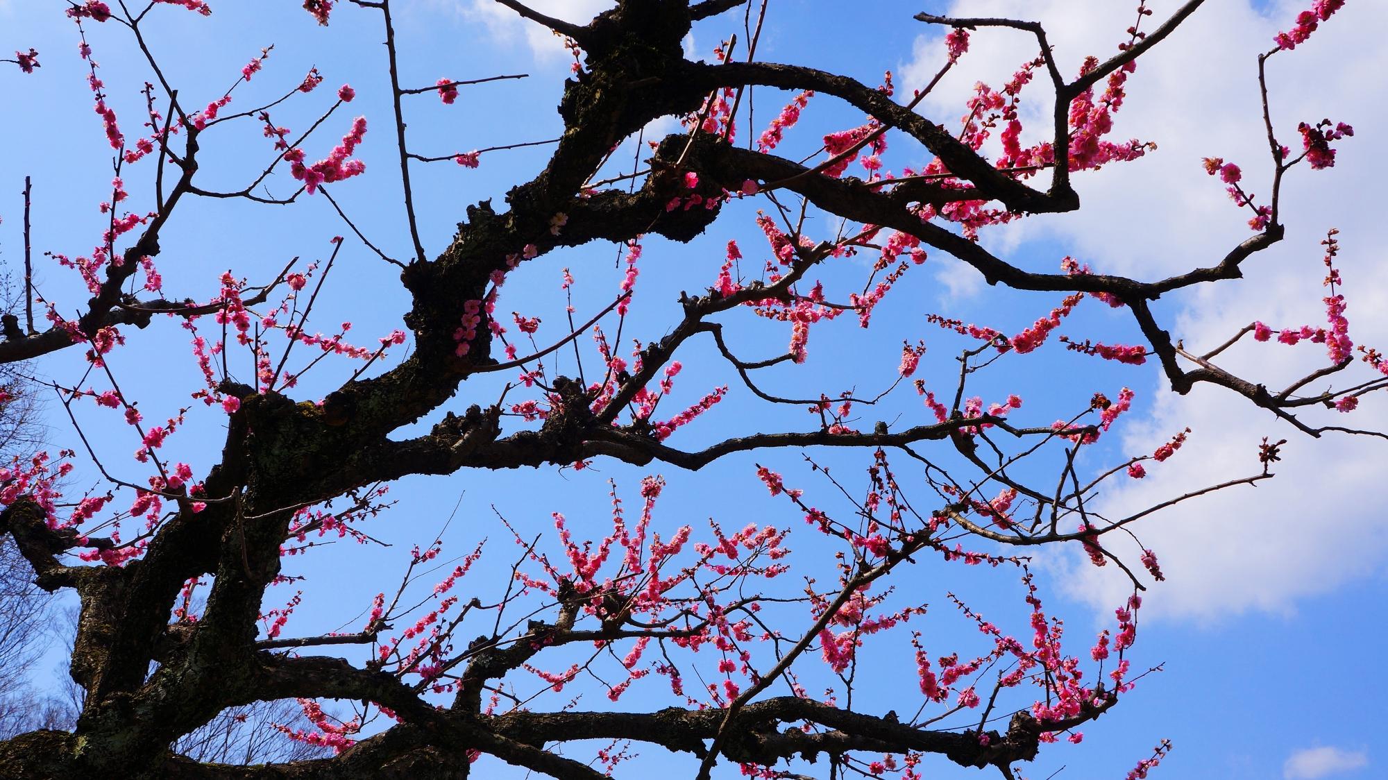 縦横無尽に無邪気に遊ぶような梅の枝