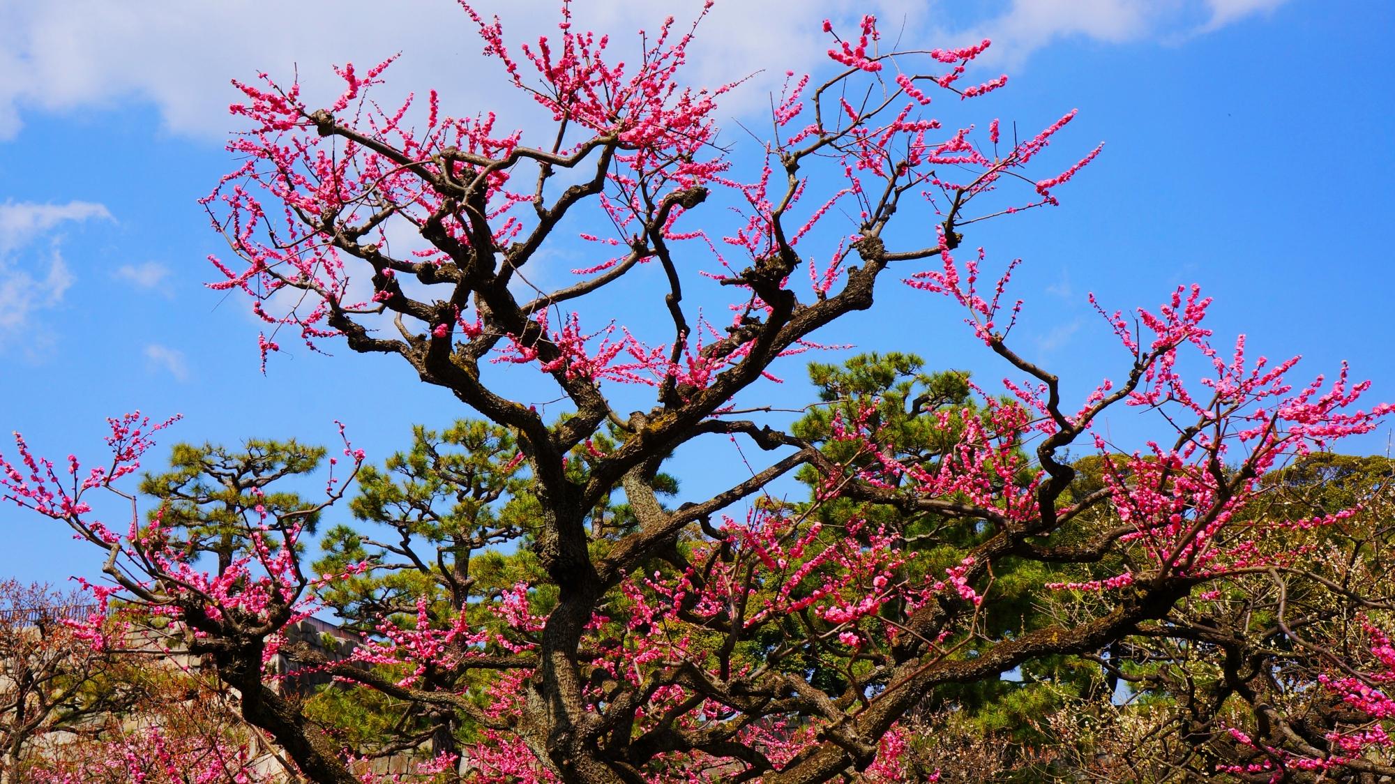 二条城の春先の鮮やかな彩り