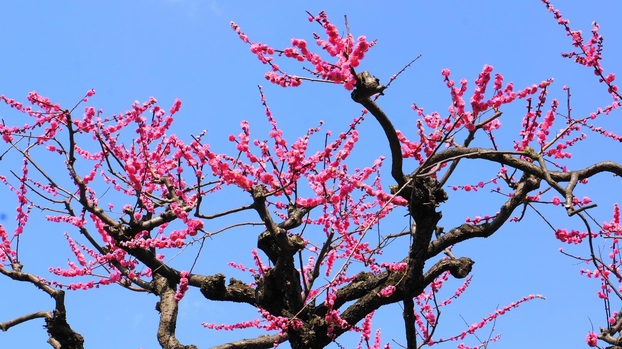 青空を彩る芸術的な梅の枝と花