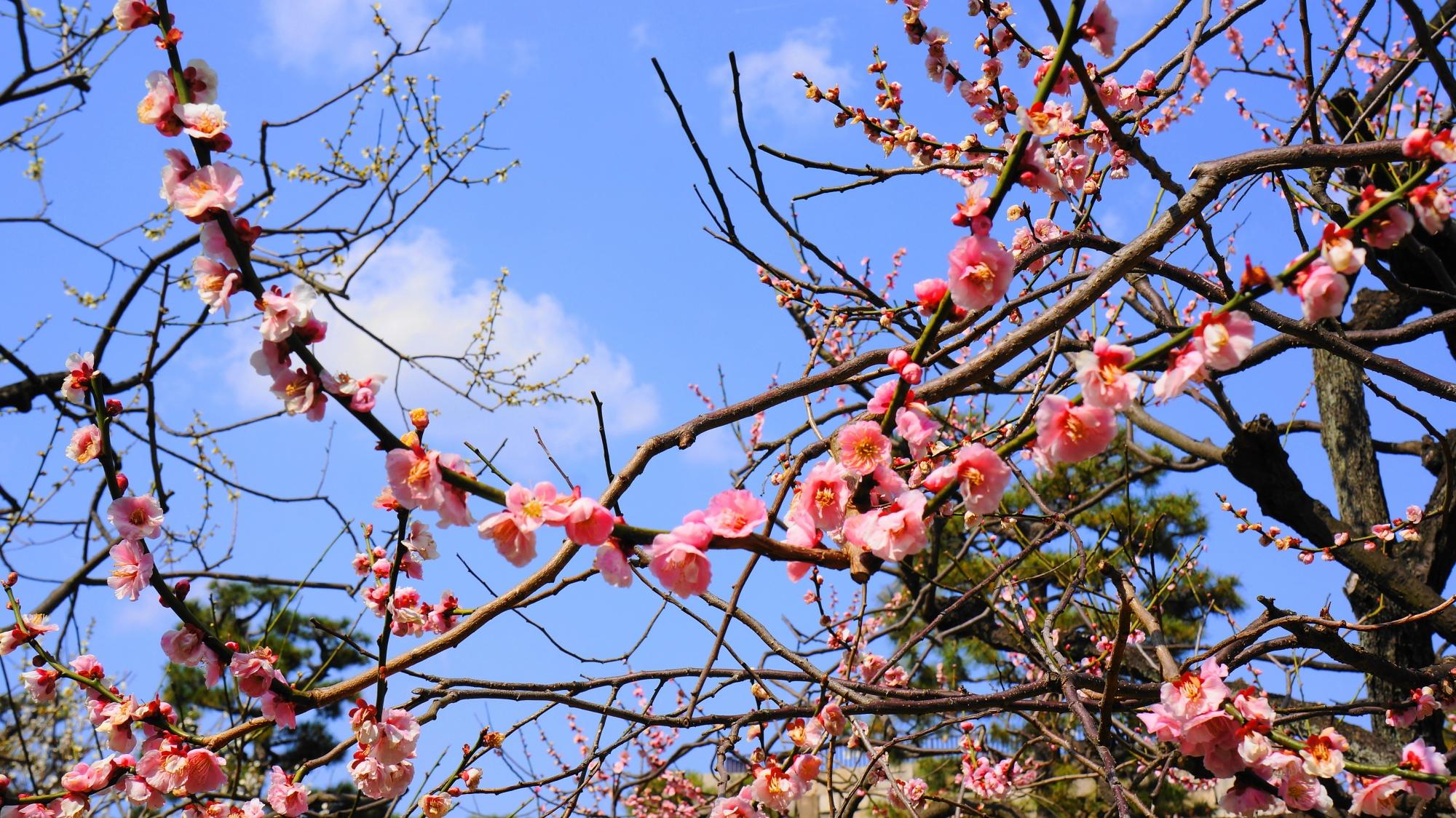 青空をそめる薄いピンクの華やかな梅の花