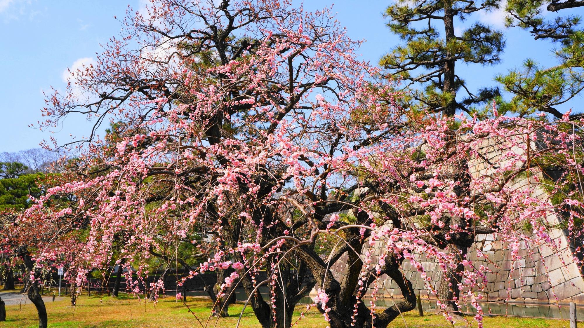 二条城の咲き誇るピンクのしだれ梅