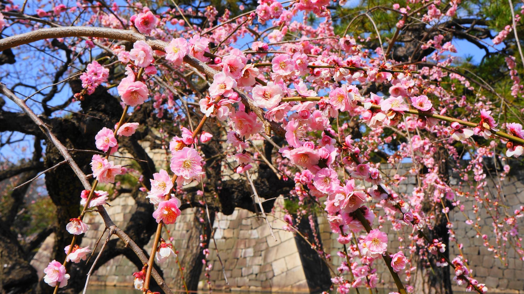 梅を引き立てる背景の石垣