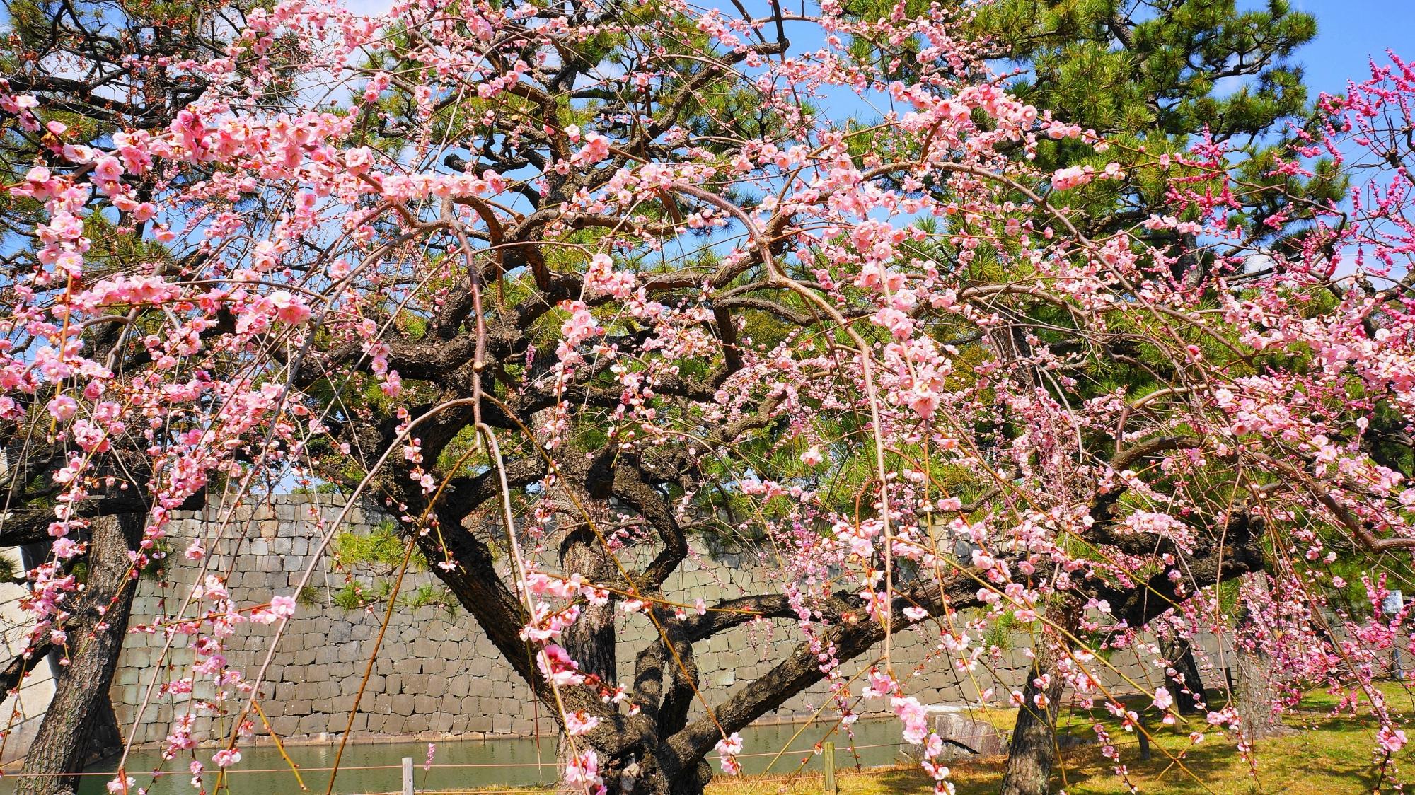 春先の二条城を華やかなピンクに彩る梅