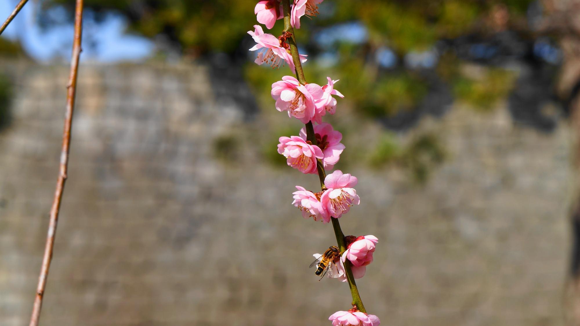 可憐な梅の花と蜂
