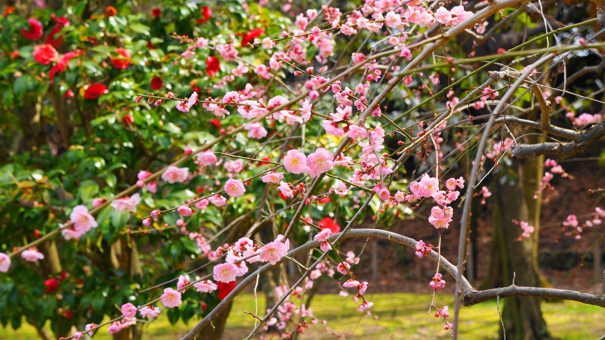 緑や椿を背景にした華やかなしだれ梅