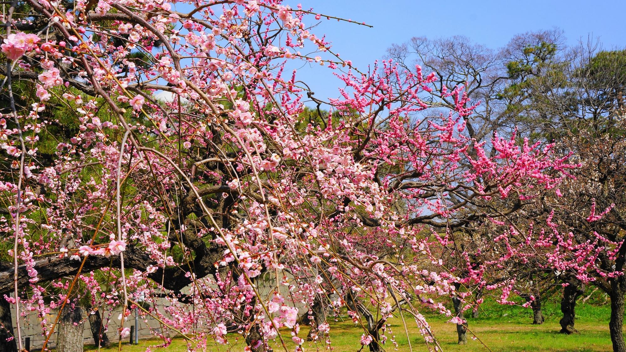 二条城の素晴らしい梅と春先の情景