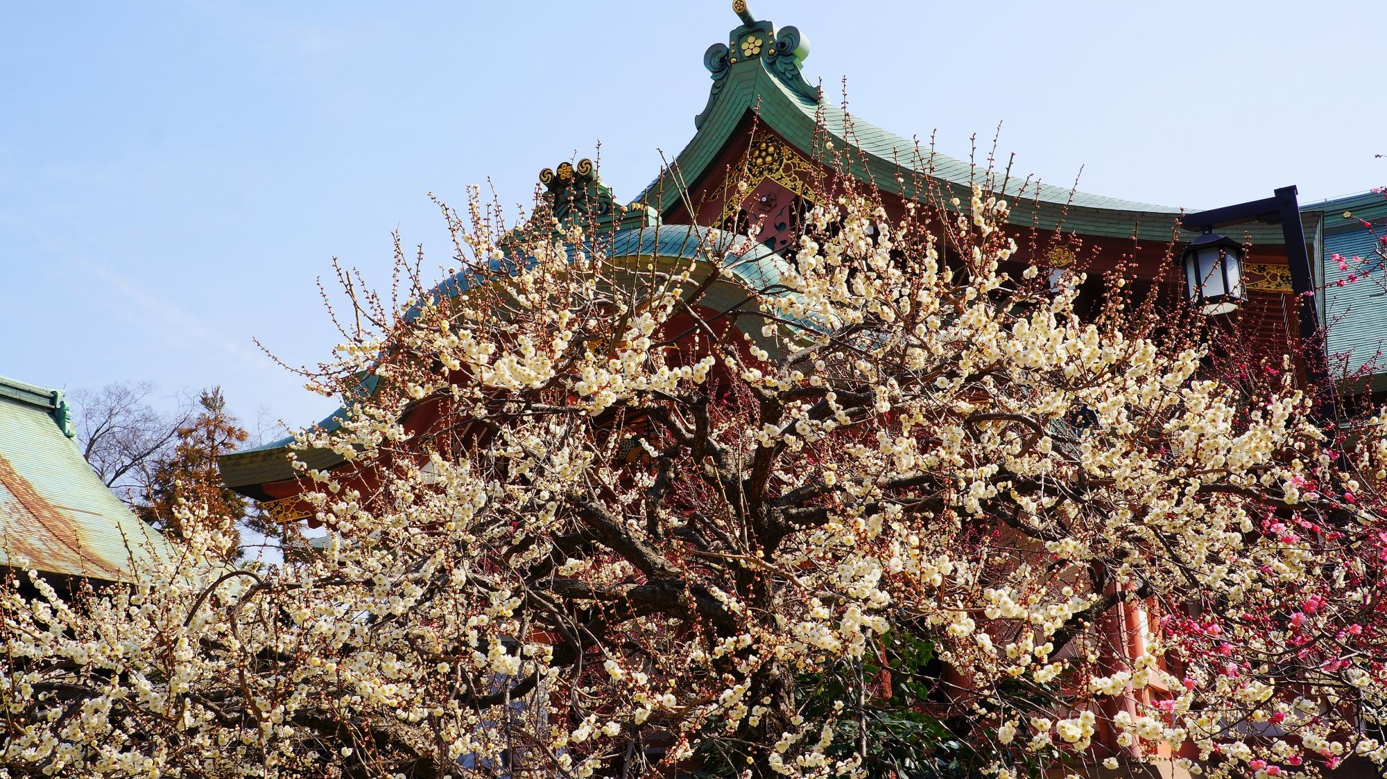 満開の白梅につつまれる宝物殿