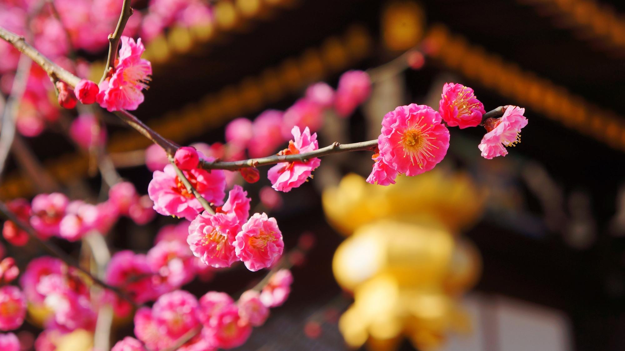 金色の六角吊るし灯篭とピンクの梅の花