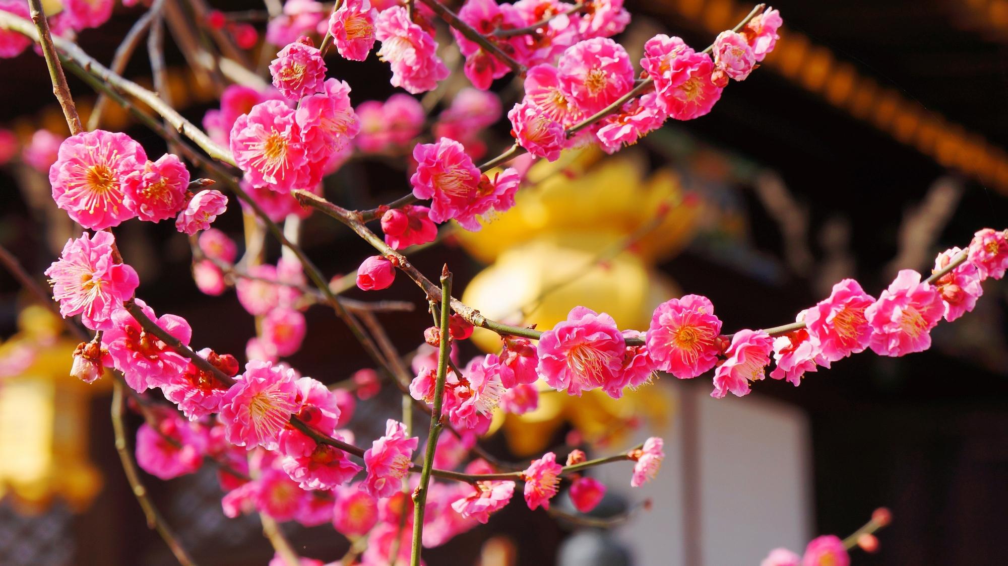 社殿と吊るし灯篭を背景にした絵になる美しい梅の花